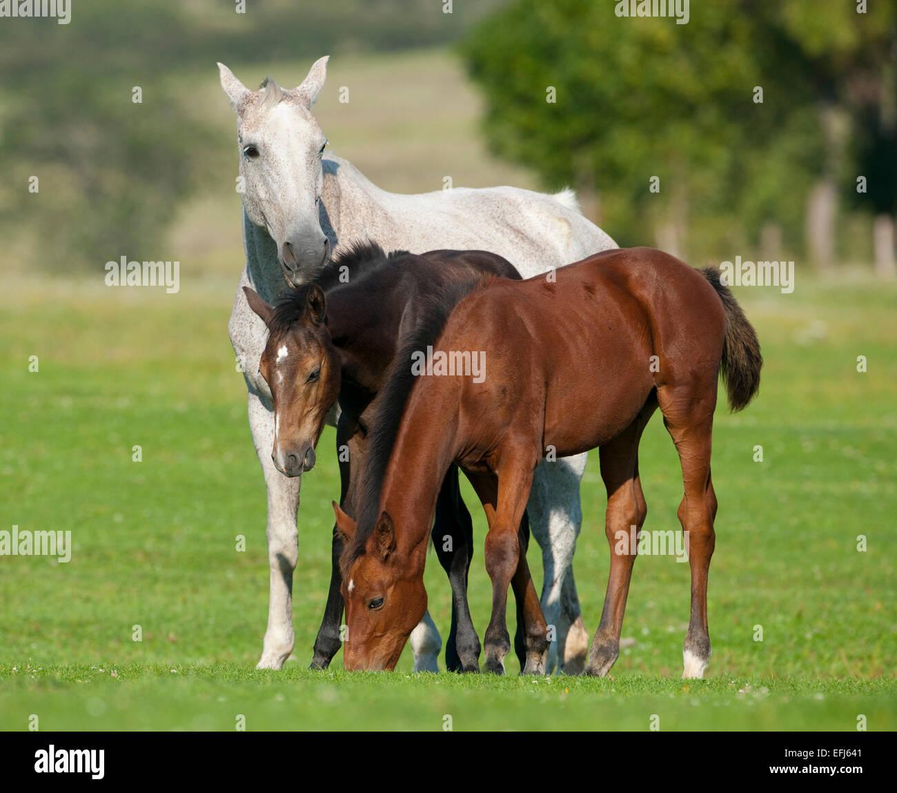 Cavalli, bianco mare e due foales con scuri cappotti, Turingia, Germania Immagini Stock