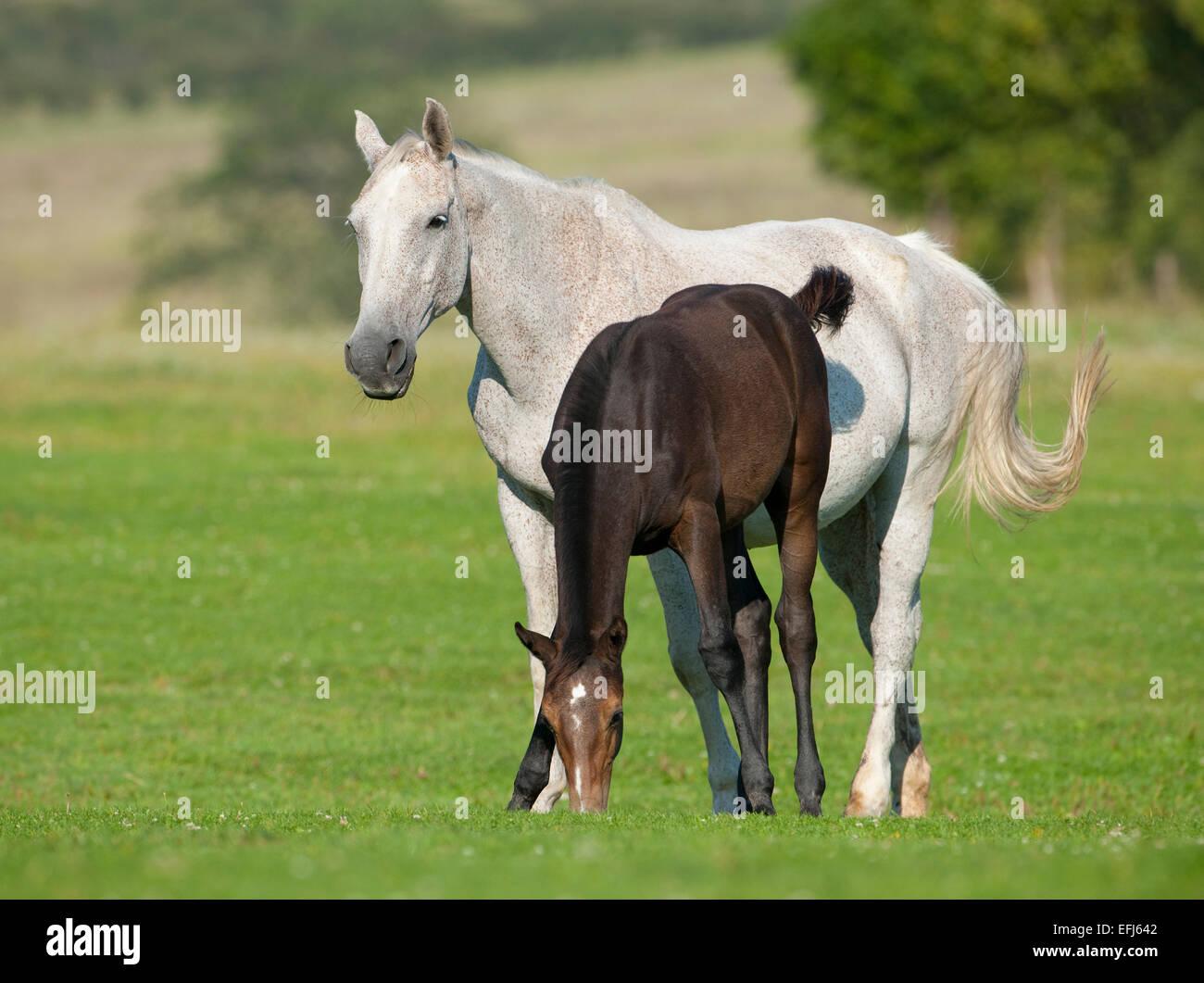 Cavalli, bianco mare e un puledro con un mantello nero, Turingia, Germania Immagini Stock