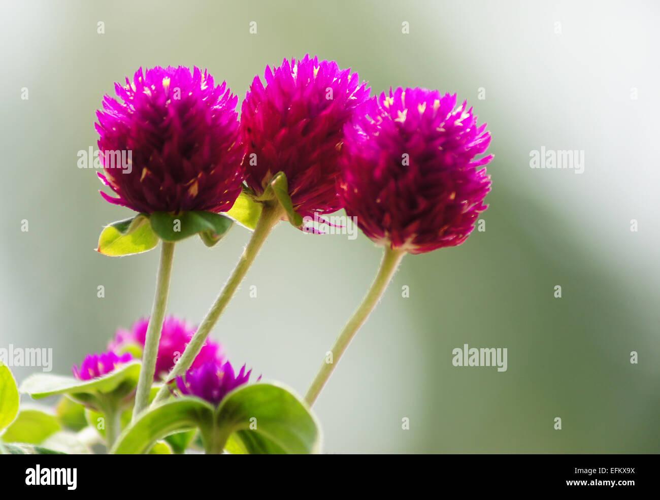 Globo bellissimo fiore di amaranto (Gomphrena globosa Linn.) Immagini Stock