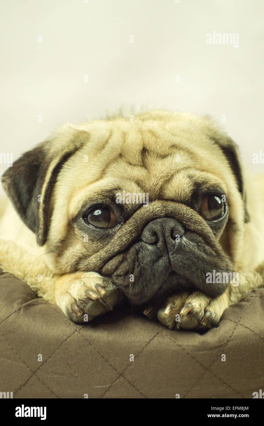 Un cane Pug snoozing su un letto di cane Immagini Stock