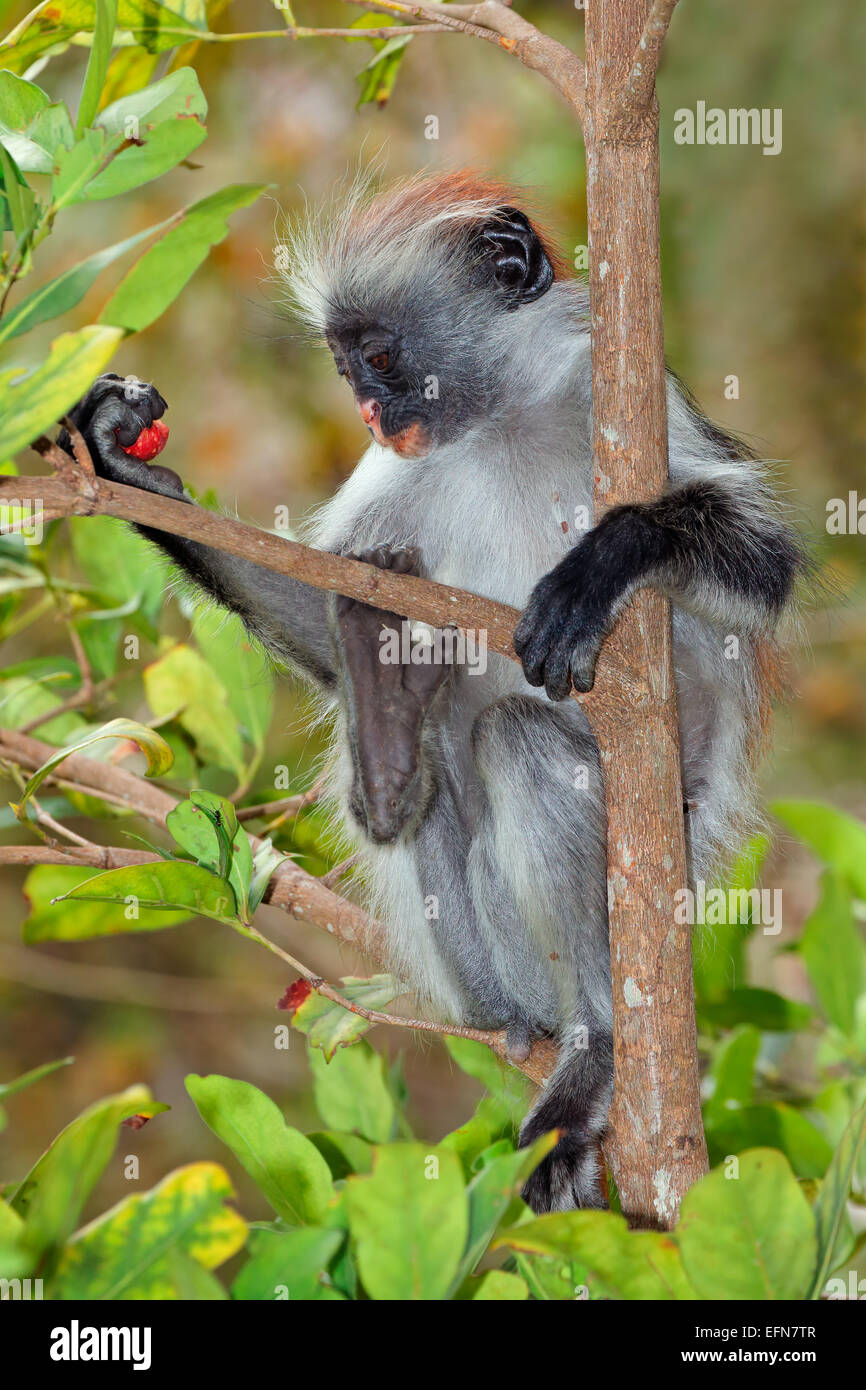 In via di estinzione Zanzibar Red Colobus Monkey (Procolobus kirkii), la foresta di Jozani, Zanzibar Immagini Stock