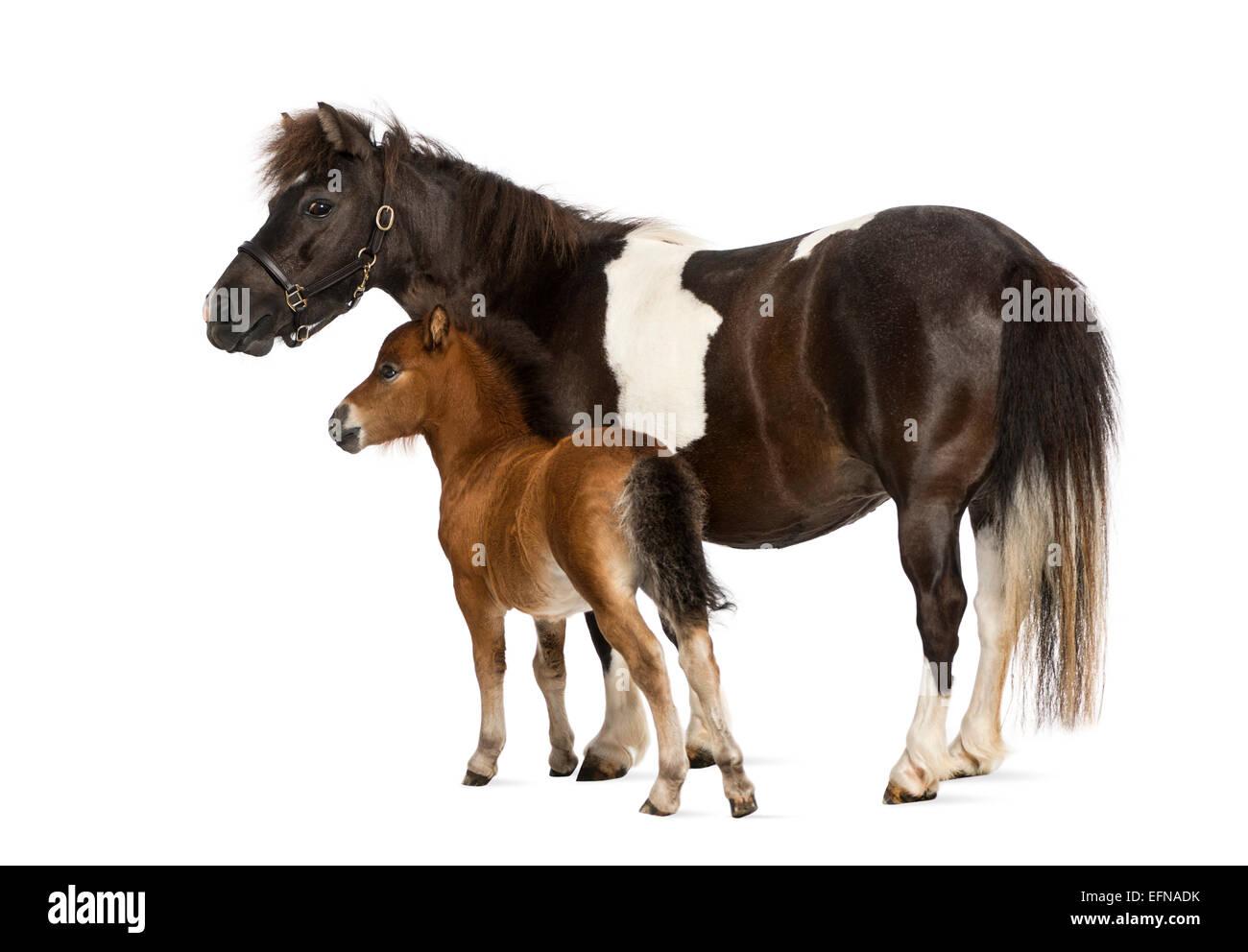 Pony Shetland e il puledro, 12 anni e 1 mesi di età, in piedi di fronte a uno sfondo bianco Immagini Stock