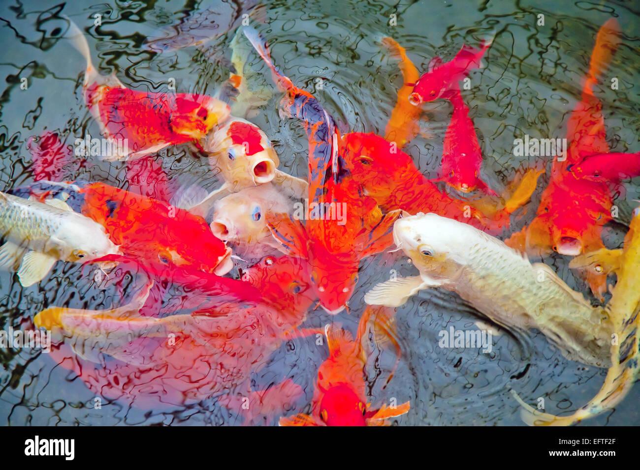 Uno spettacolare pesce Koi in una piscina per la raccolta di cibo Immagini Stock