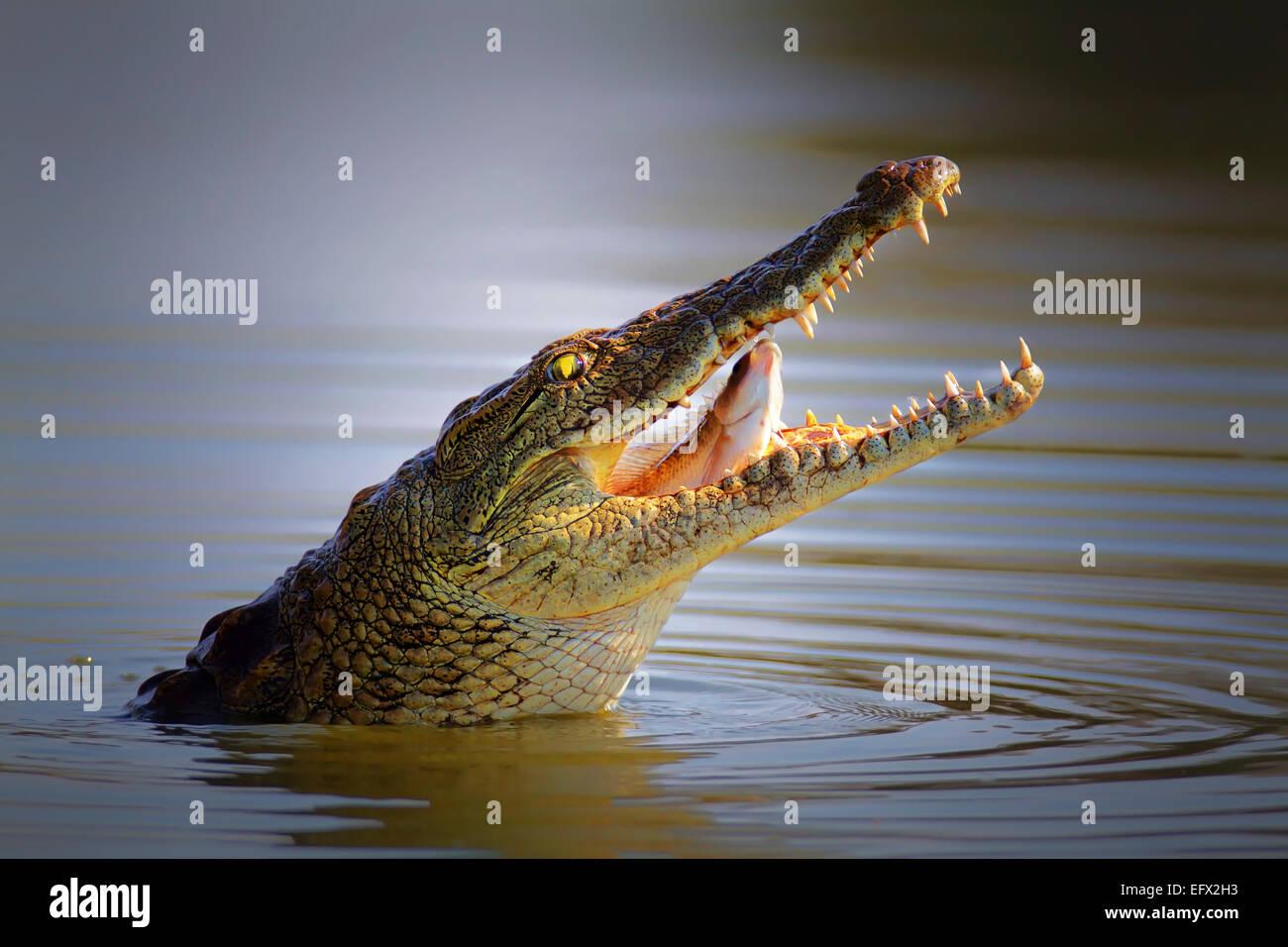 Coccodrillo del Nilo inghiottire un pesce; Crocodylus niloticus - Parco Nazionale Kruger Immagini Stock