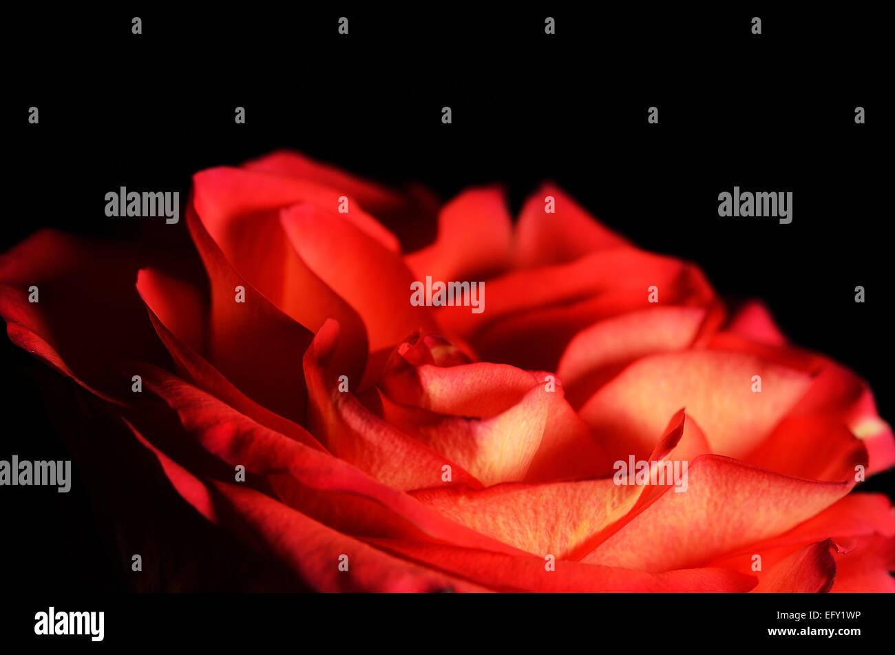 Primo Piano Di Una Rosa Rossa Foto Immagine Stock 78655522 Alamy