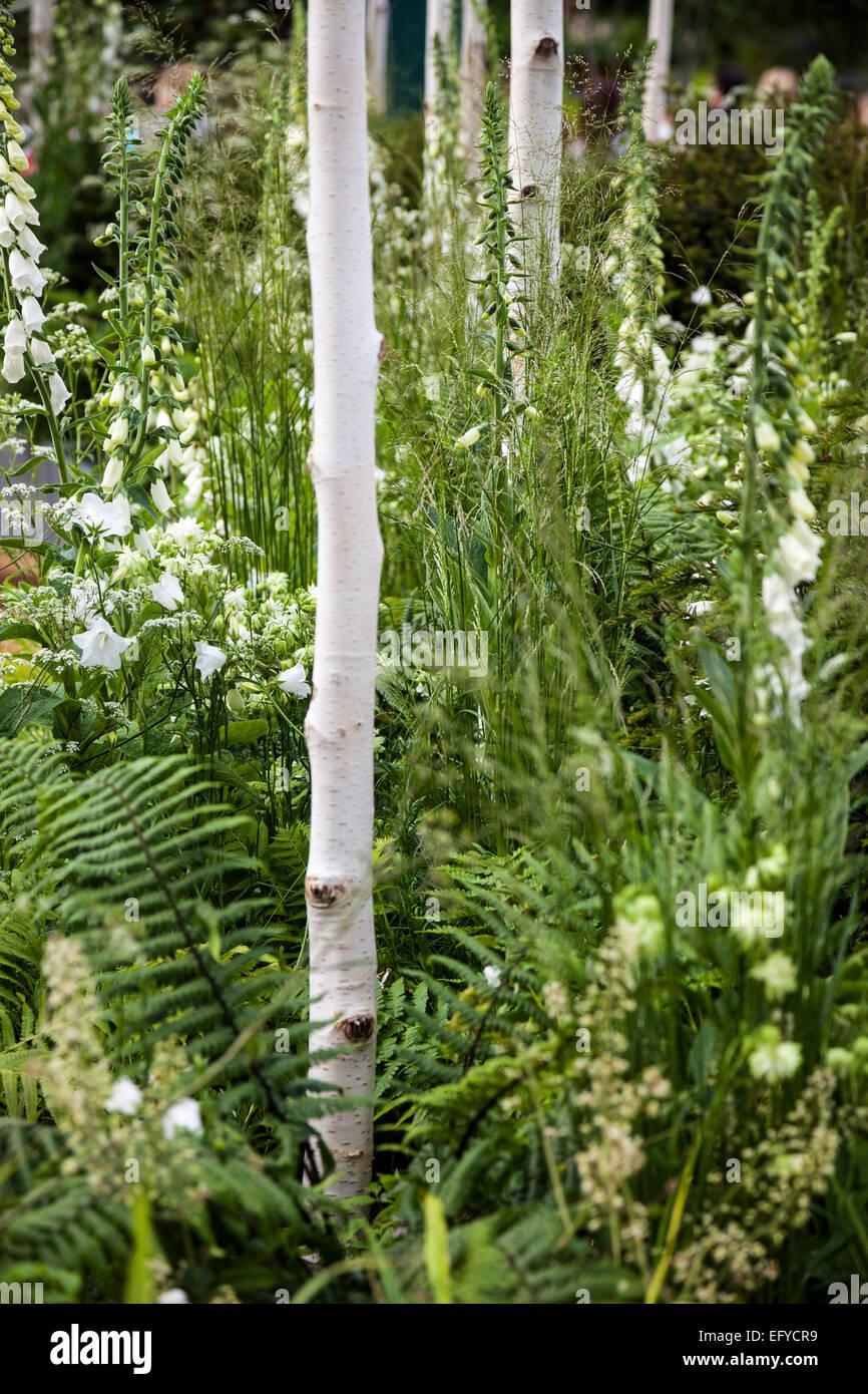 Betula utilis var. jacquemontii crescente tra white foxgloves, erbe e felci Foto Stock