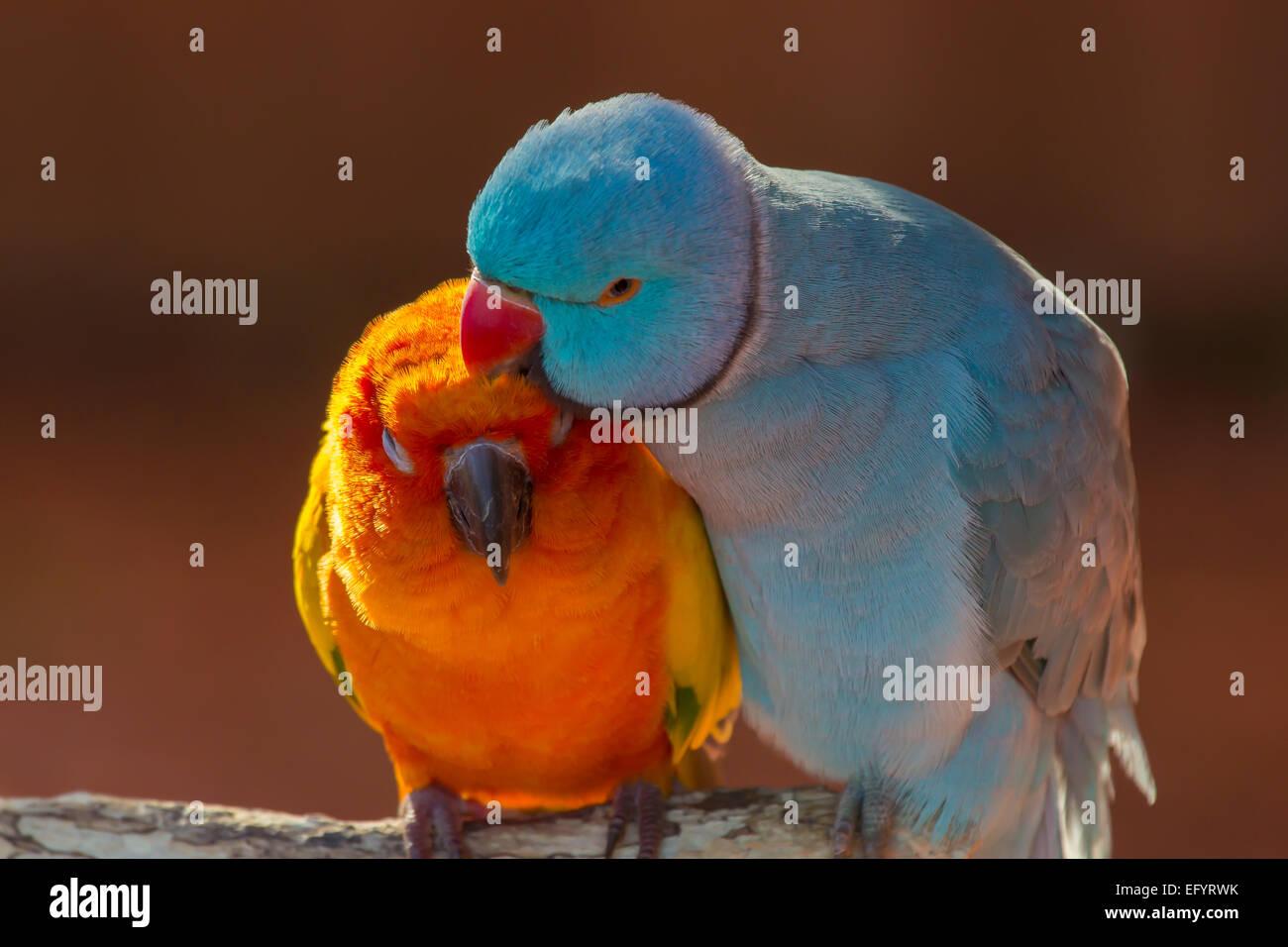 Coppia di piccoli pappagallo colorato innamorati Agapornis toelettatura ogni altro Immagini Stock