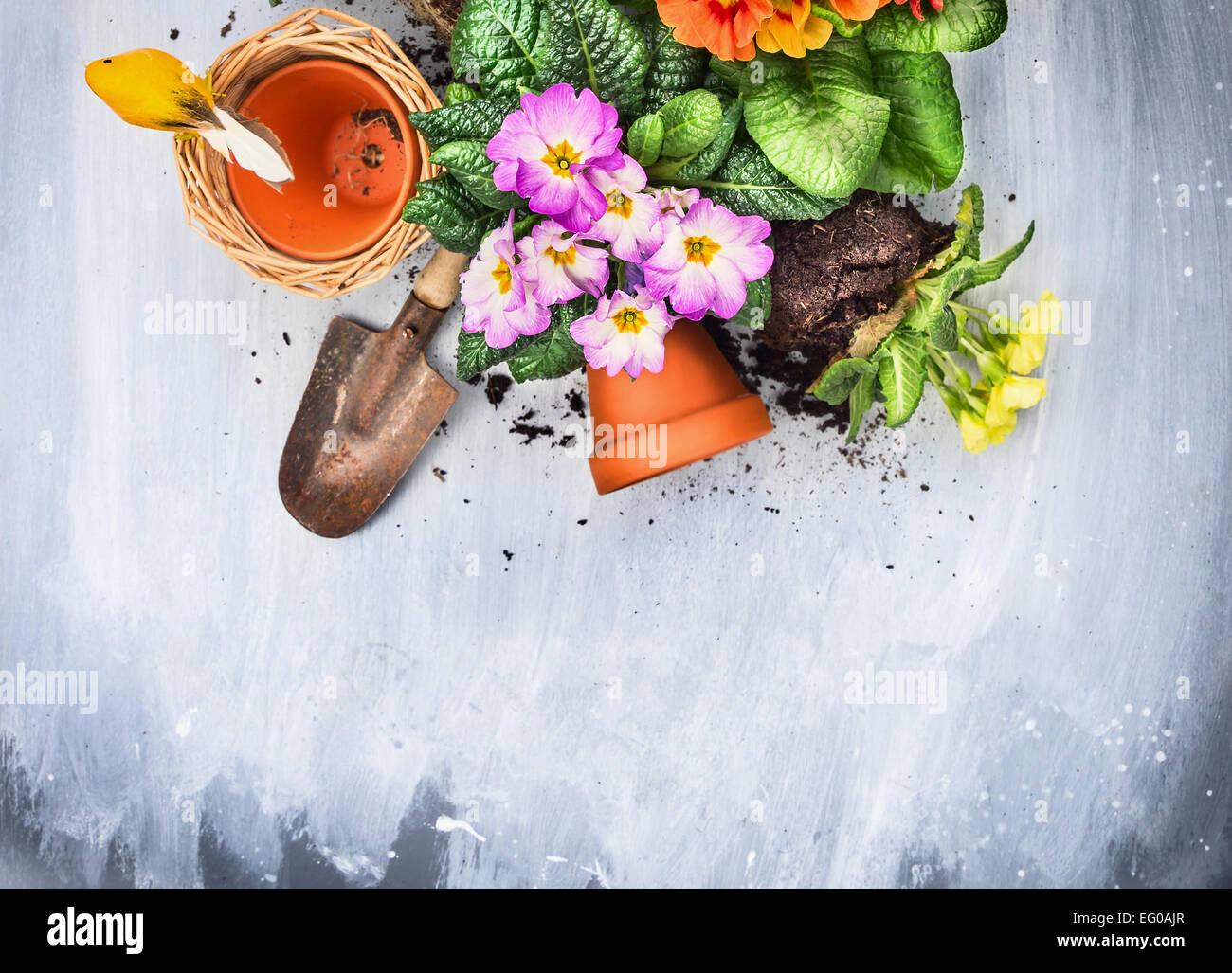 Fiori di Primavera potting con attrezzi da giardino, pentole e suolo, su grigio tavolo in legno , vista dall'alto, Immagini Stock