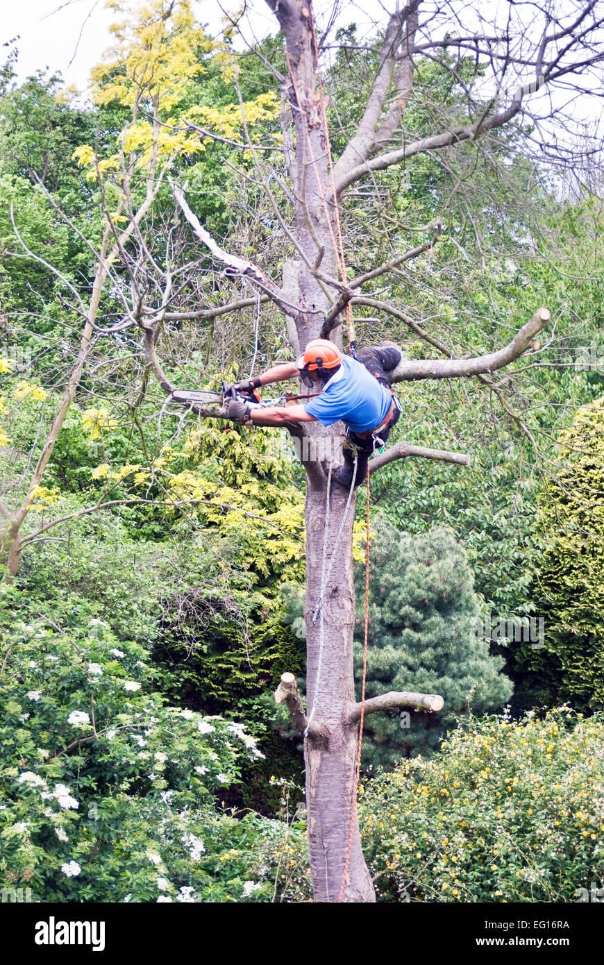 Tree chirurgo rimuovendo i rami di un albero morto Immagini Stock