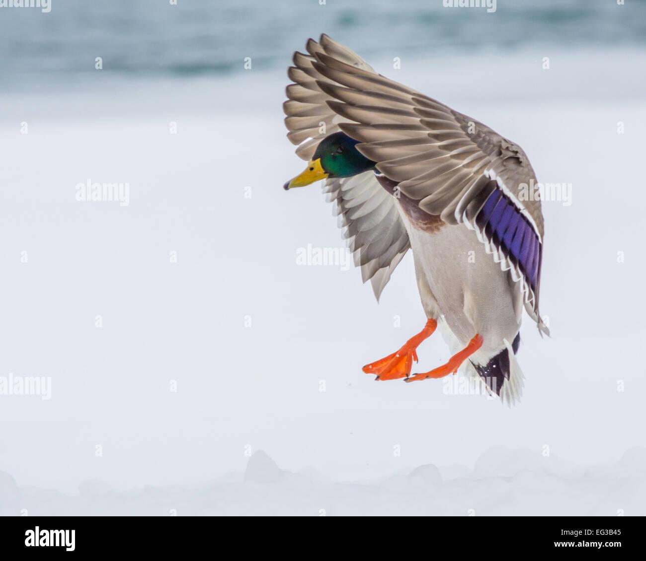 Maschio di Mallard Duck in arrivo per un atterraggio. Immagini Stock
