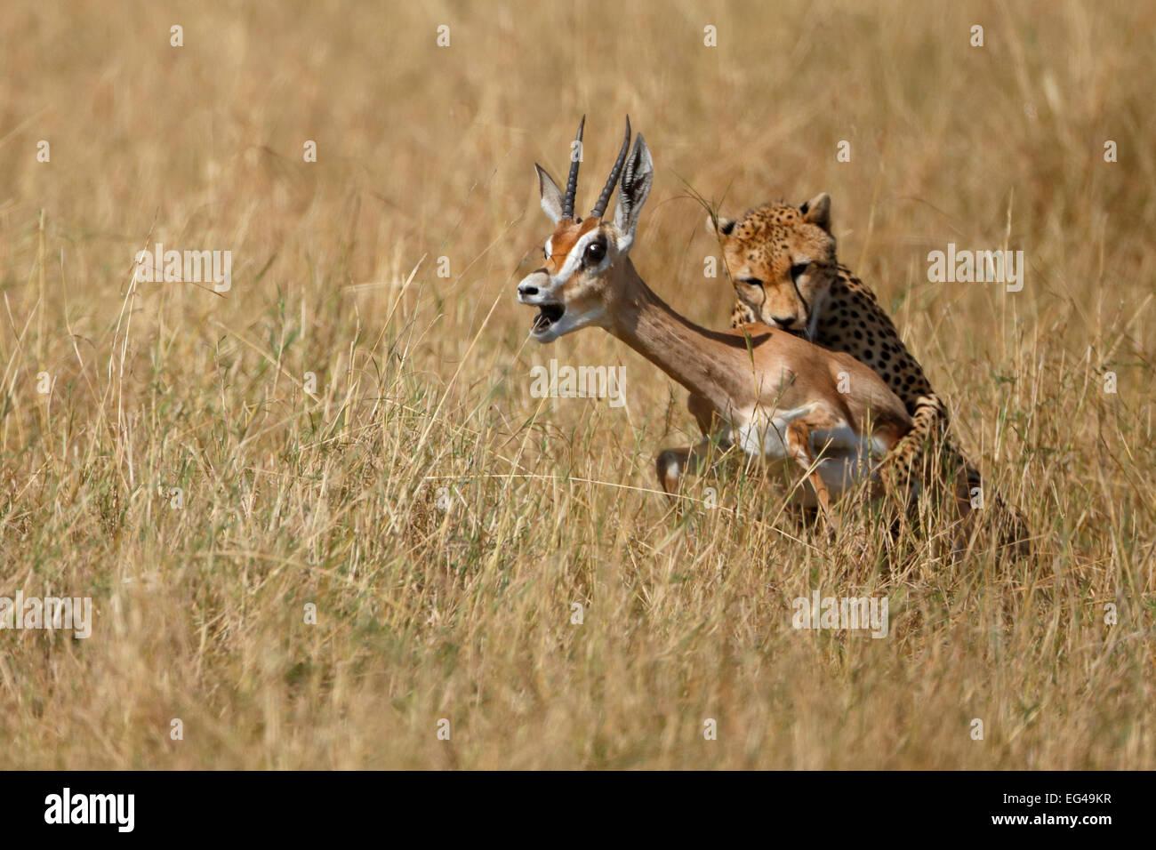 Ghepardo (Acinonyx jubatus) cattura gazelle il Masai Mara Kenya Africa Immagini Stock