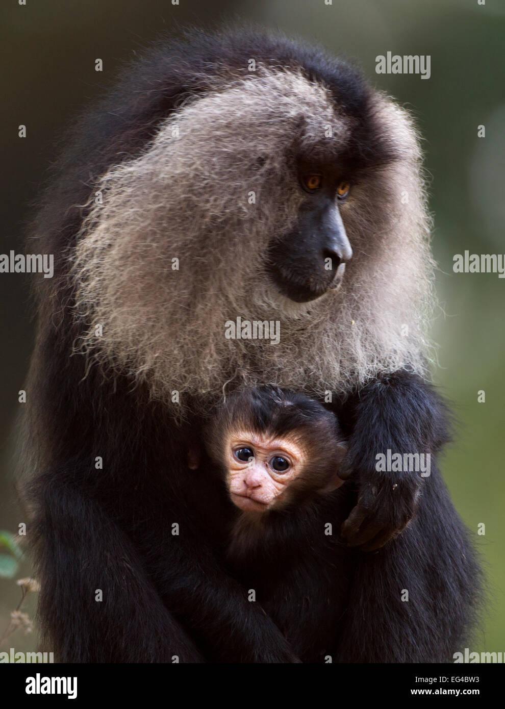 Lion-coda Macaque (Macaca silenus) femmina seduta il suo bambino di età inferiore a 1 mesi. Anamalai Riserva Immagini Stock