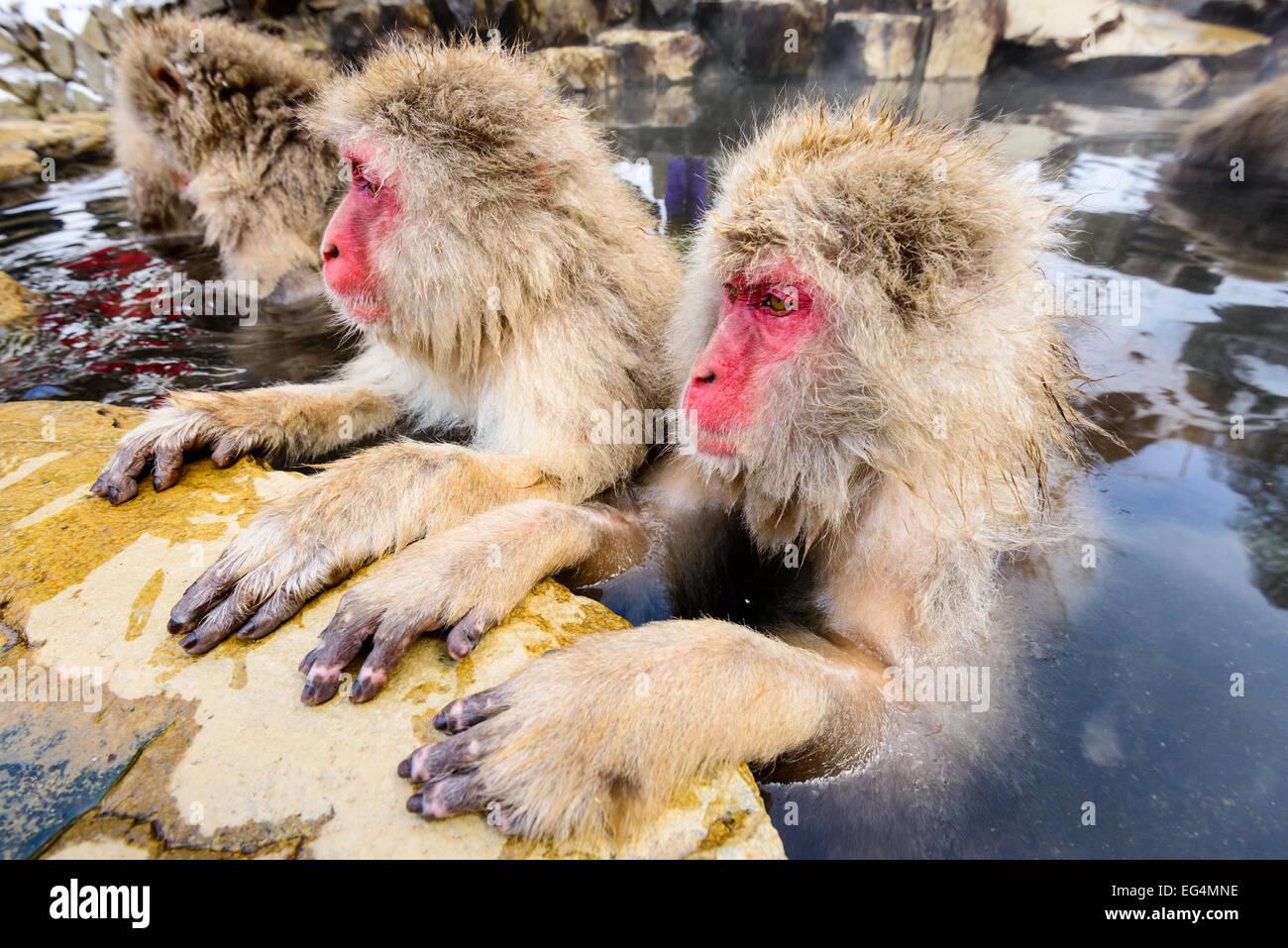 Neve le scimmie in Nagano, Giappone. Immagini Stock