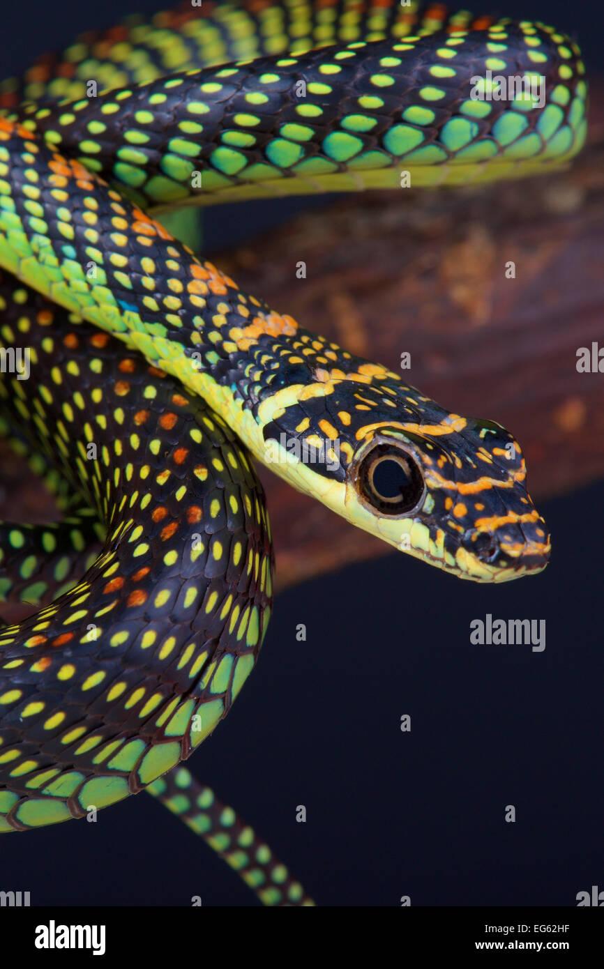 Paradise flying snake / Chrysopelea paradise Immagini Stock