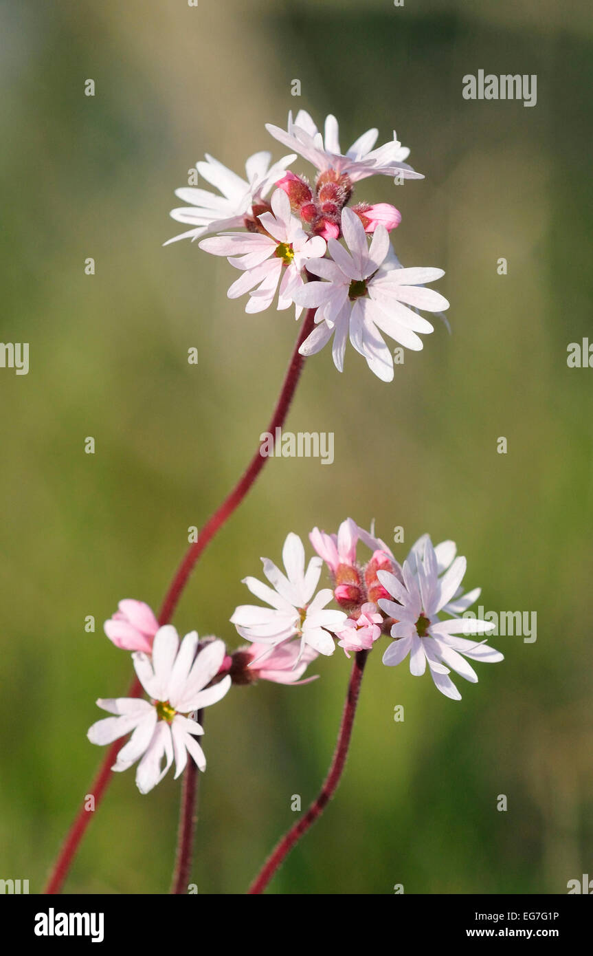 Piccolo bosco fiorito star (Lithophragma parviflora) Immagini Stock
