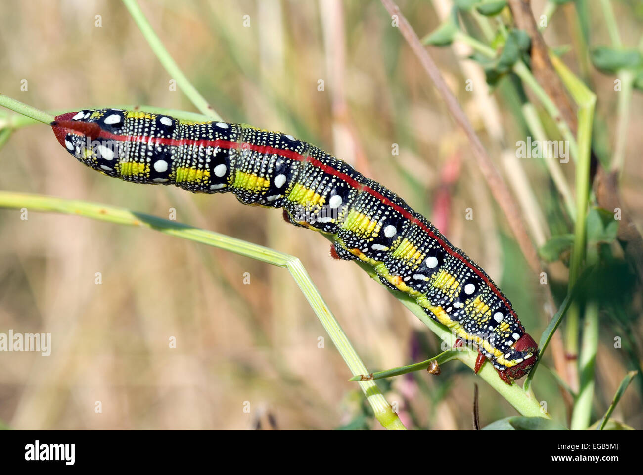 Hawkmoth euforbia,caterpillar (Hyles euphorbiae), Lazio, Italia Immagini Stock