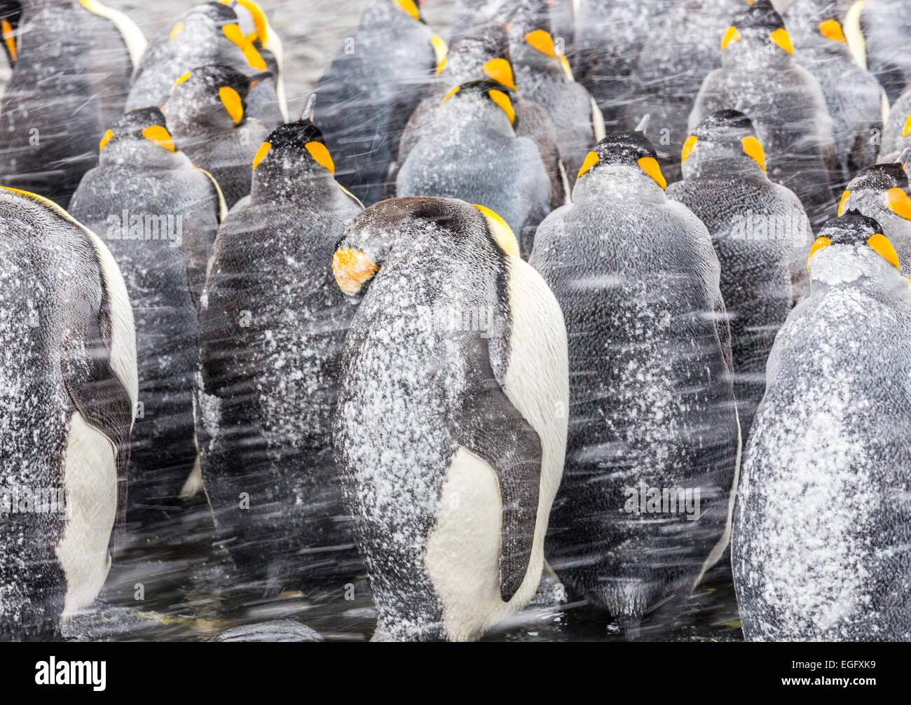 Re pinguini huddle insieme alle loro spalle le improvvise raffiche di neve Immagini Stock