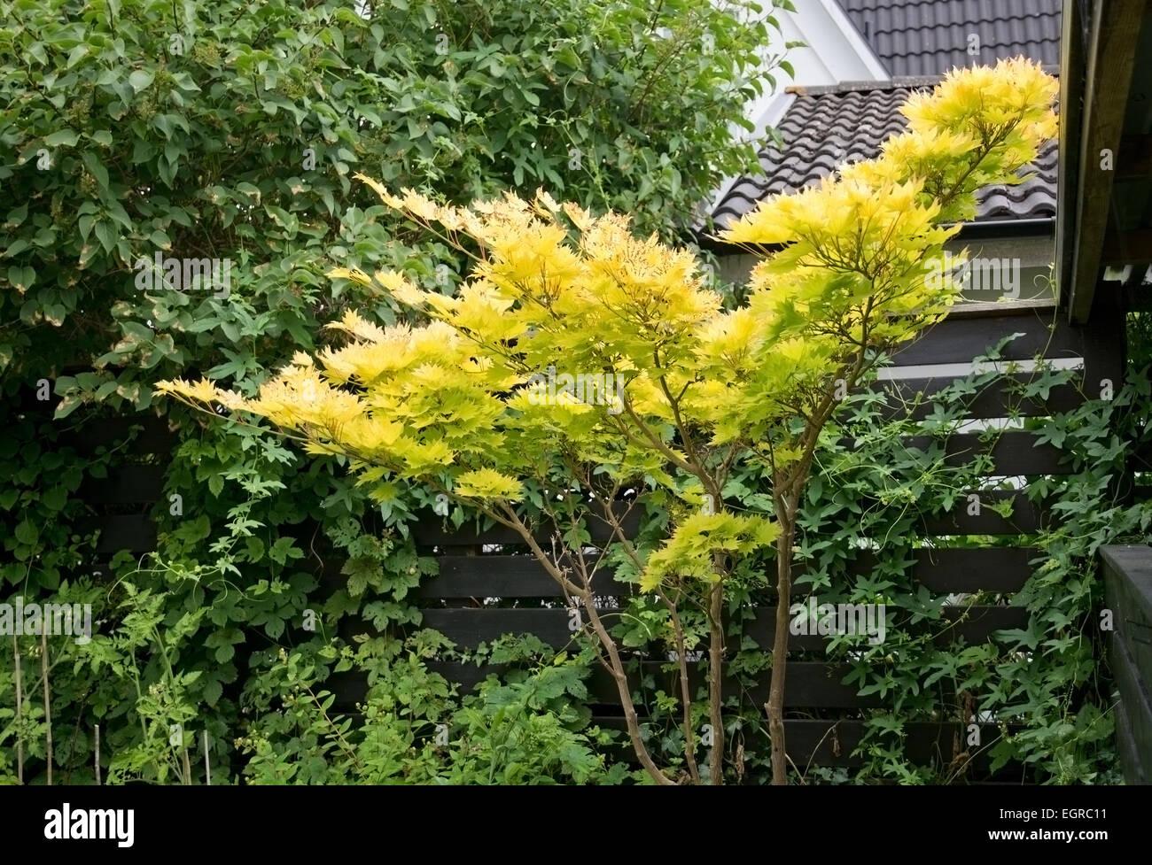 Acero Giapponese Verde acer palmatum 'dissectum garnet', acero giapponese. giardino