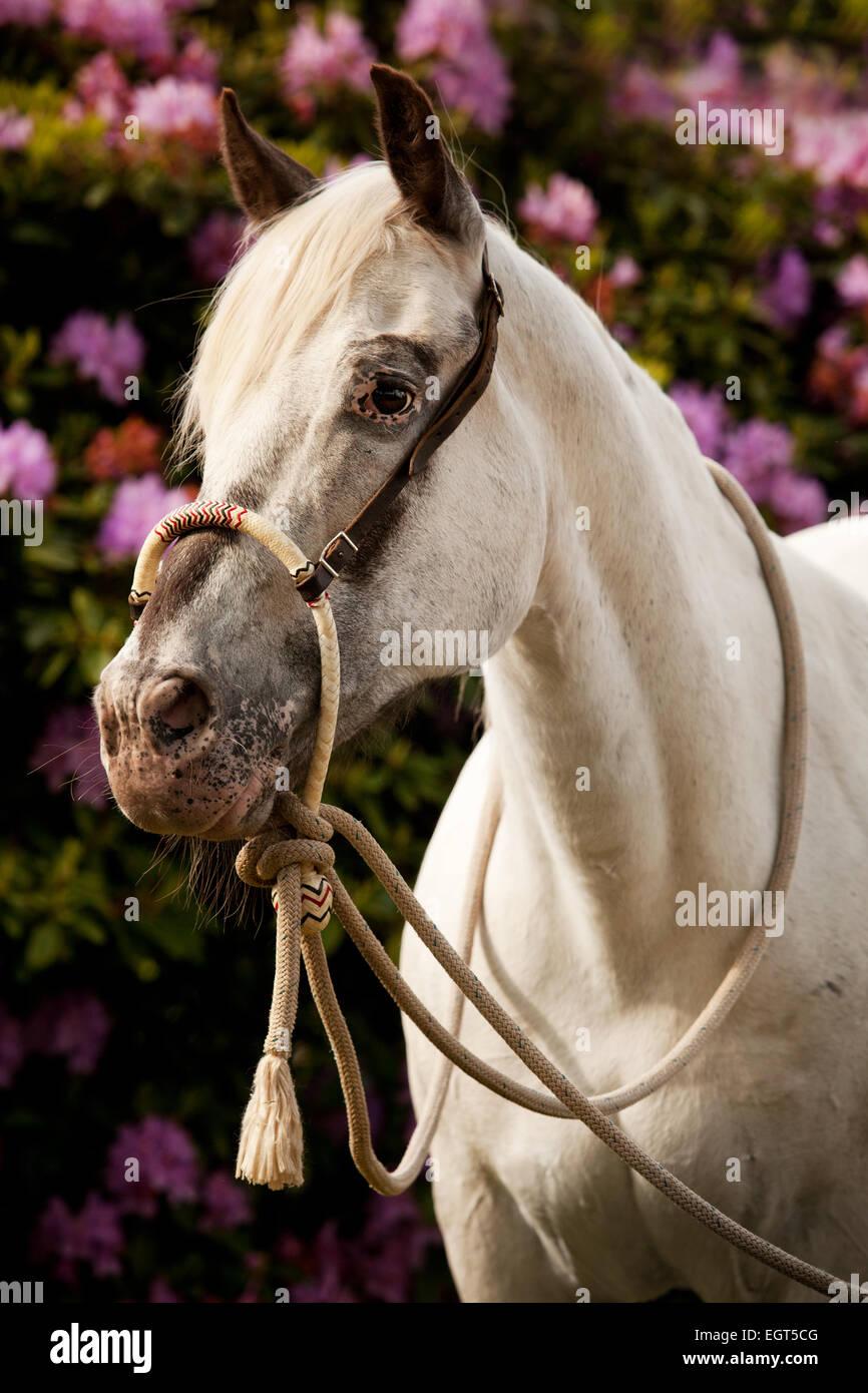 POA, Pony delle Americhe, White Horse indossando un Bosal hackamore, una briglia bitless utilizzato in stile occidentale a cavallo Foto Stock