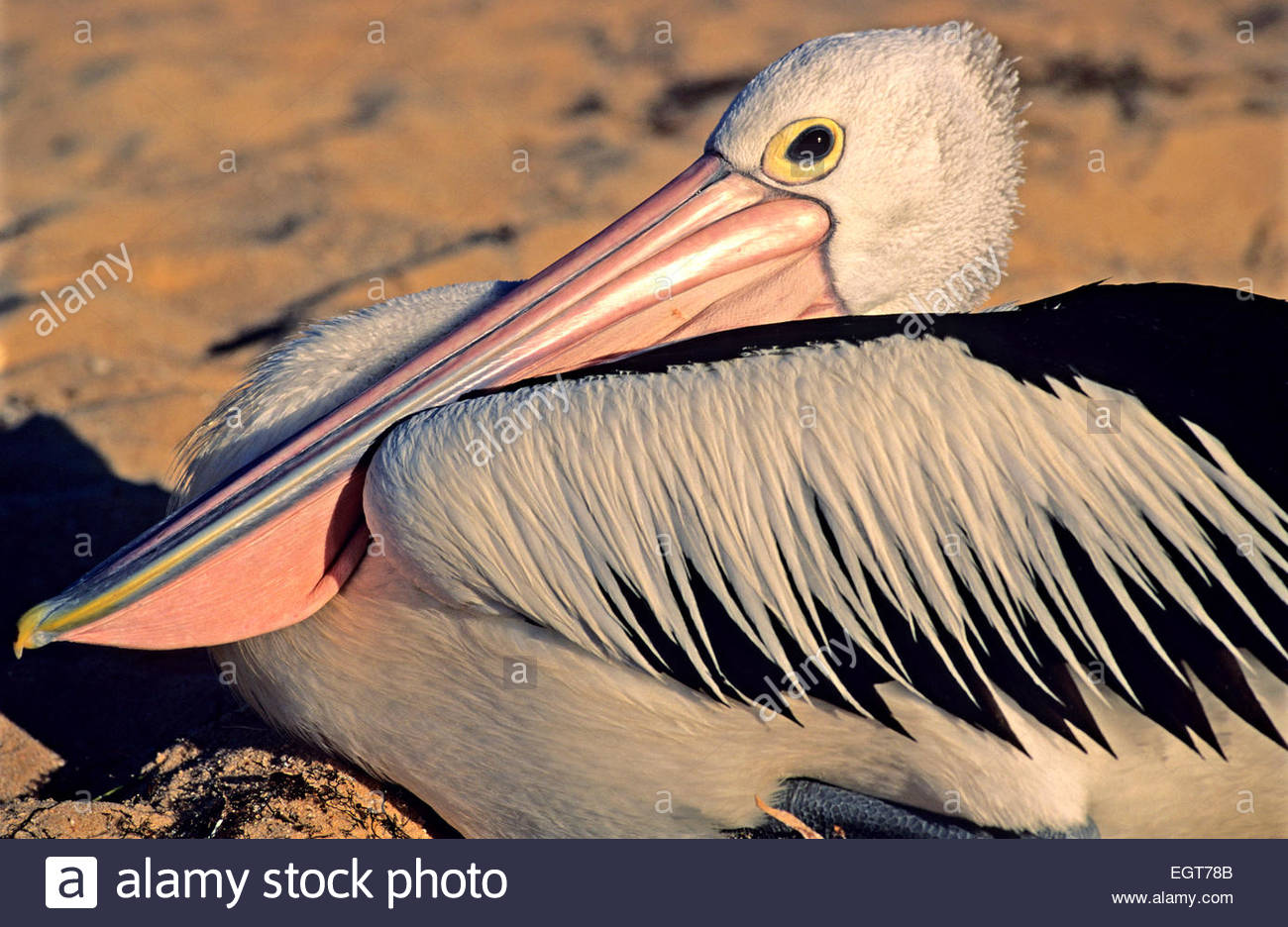 Spectacled pelican, Shark Bay, Australia occidentale. Immagini Stock