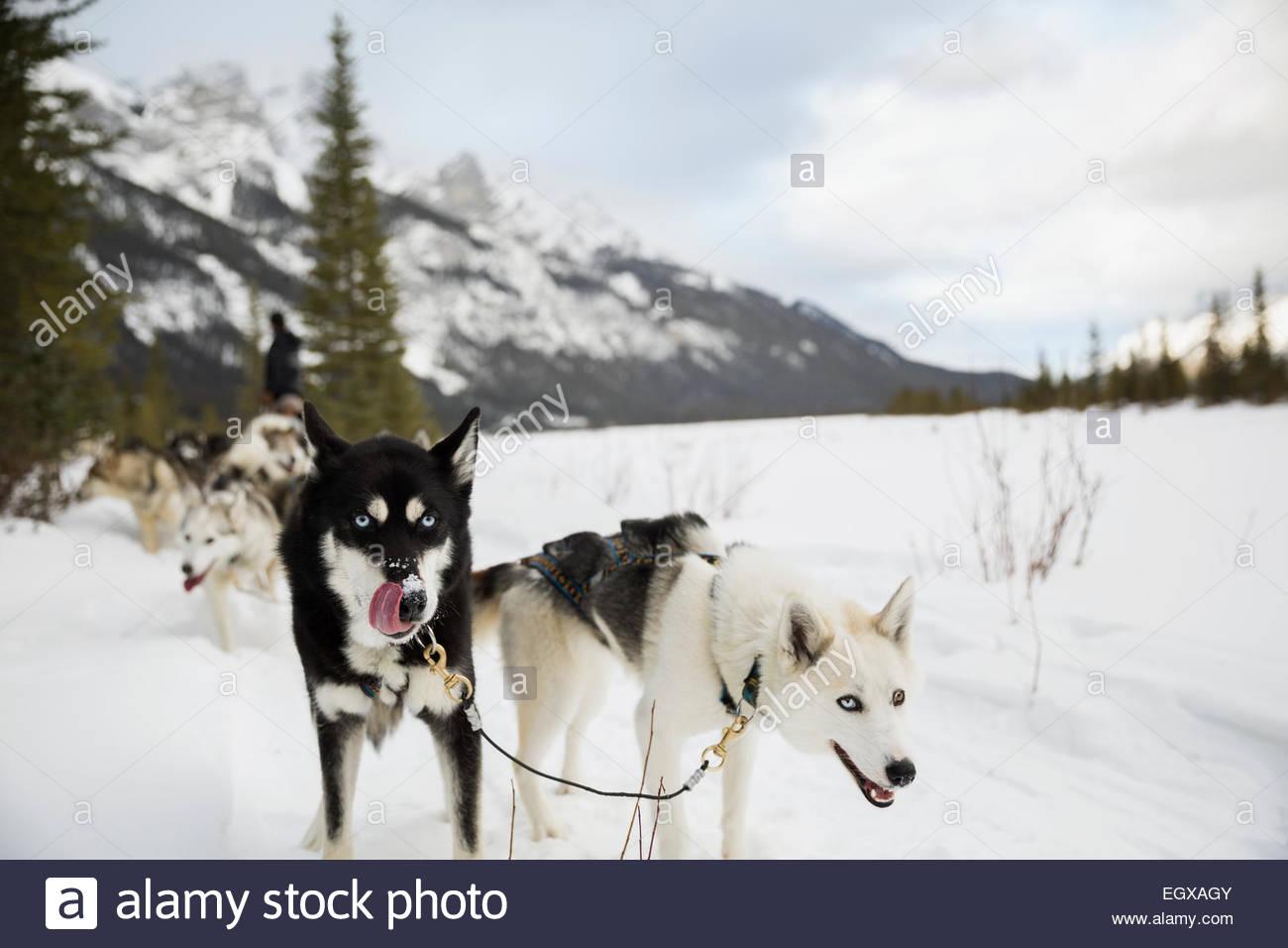 Portare cani di dogsled in campo nevoso Immagini Stock