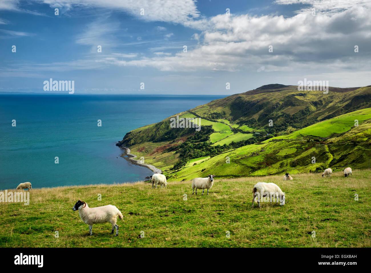 Vista dal Torr testa con pecore al pascolo. Costa di Antrim, Irlanda del Nord Immagini Stock