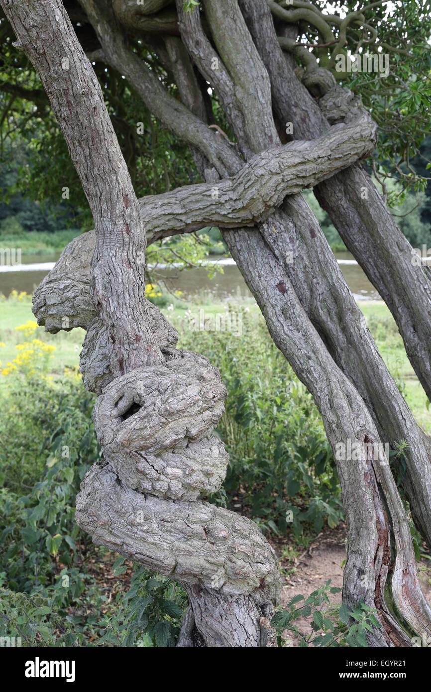 Ritorto e nodose rami di alberi Immagini Stock