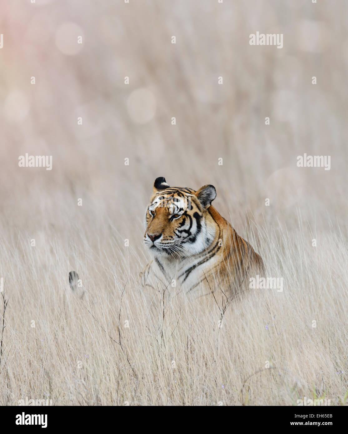 Tiger in appoggio in erba Immagini Stock