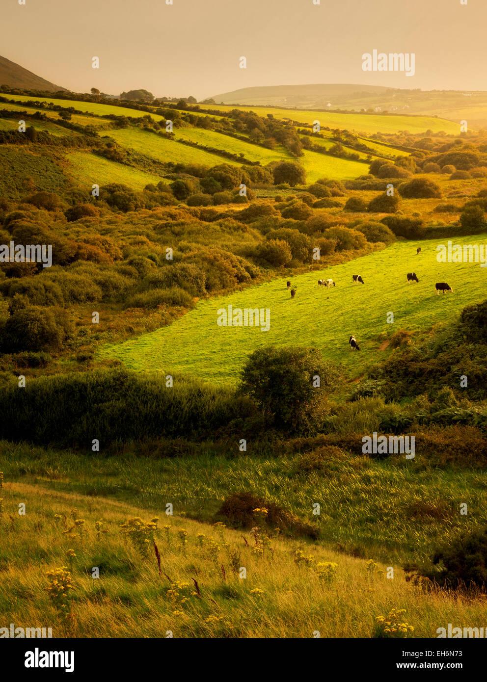 Scena pastorale con le mucche e i pascoli. Penisola di Dingle. L'Irlanda Immagini Stock