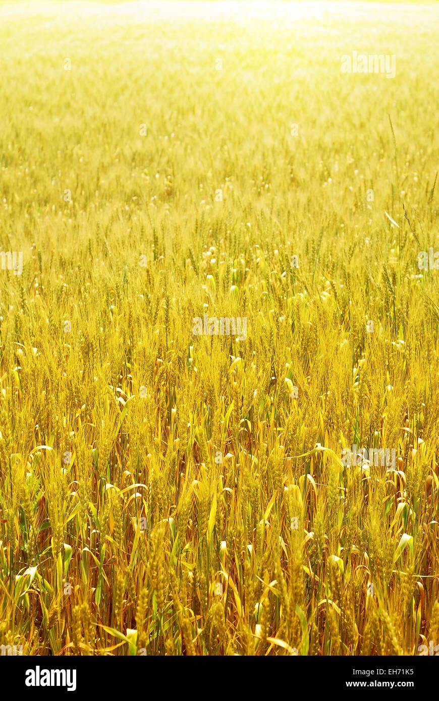 Luminose campo di grano sfondo verticale Immagini Stock