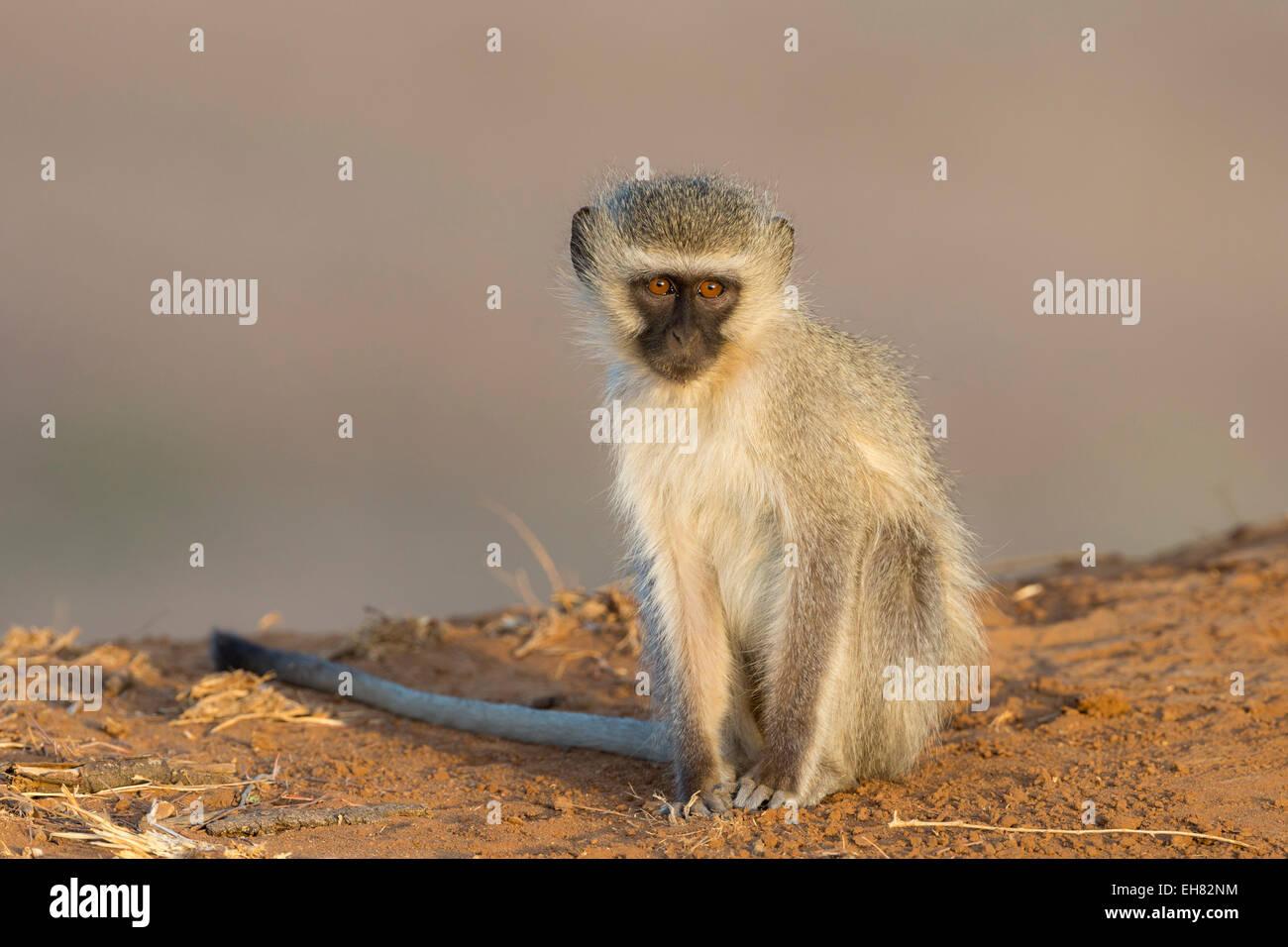 Vervet monkey (Cercopithecus aethiops), Kruger National Park, Sud Africa e Africa Immagini Stock