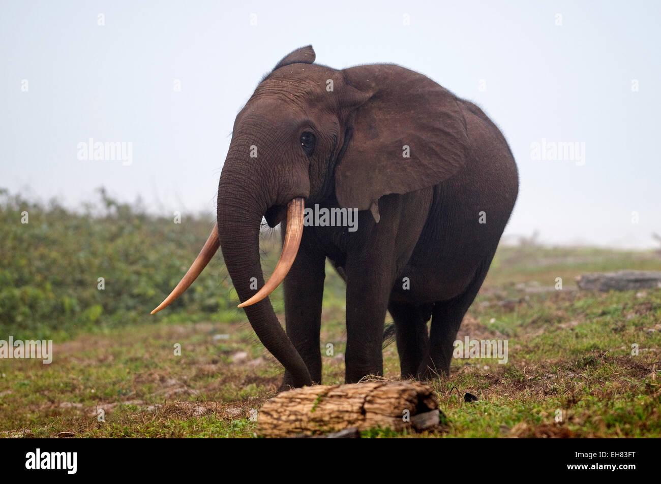 African Forest elephant bull camminando sulla spiaggia, Sette-Cama, vicino affida Loango National Park, Ogooue-Maritime, Immagini Stock