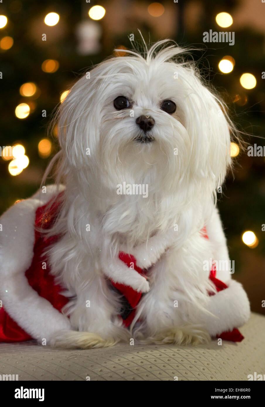 Maltese dog christmas immagini maltese dog christmas for Cane razza maltese
