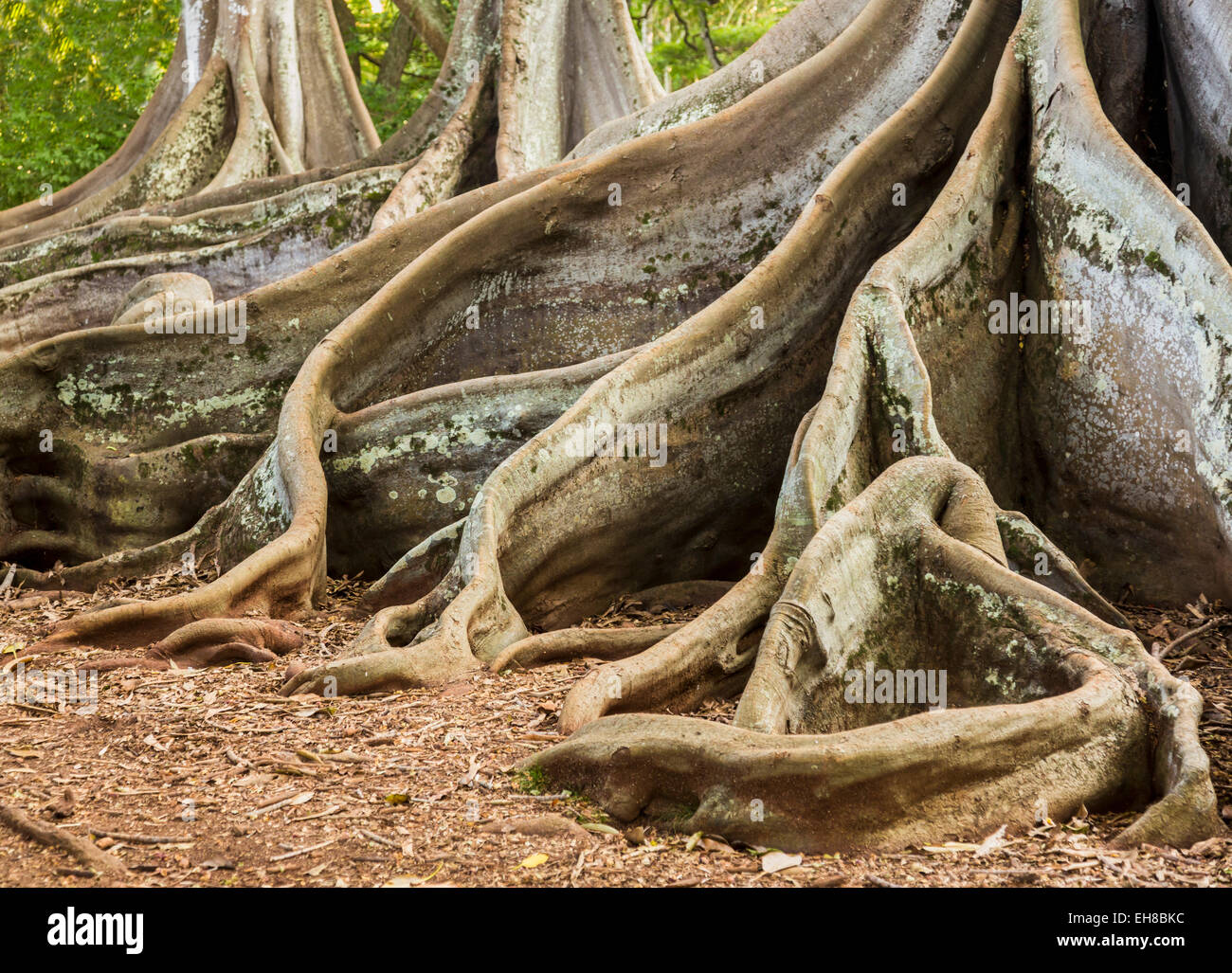 Radici di Moreton Bay Fig Tree crescono in Hawaii Immagini Stock