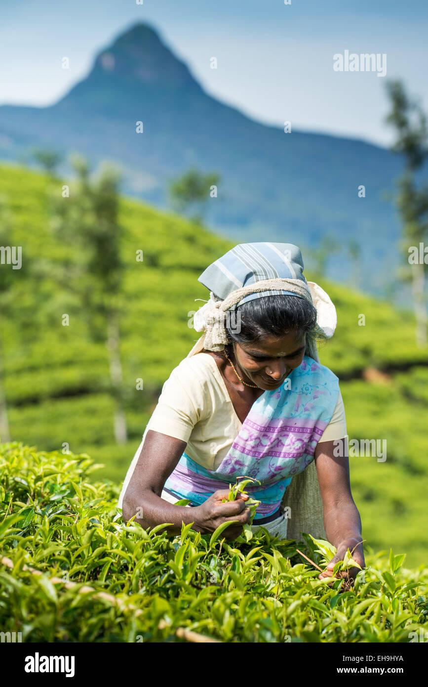 Raccolta di tè, piantagione di tè vicino a Hatton, provincia centrale, Sri Lanka, Asia Immagini Stock