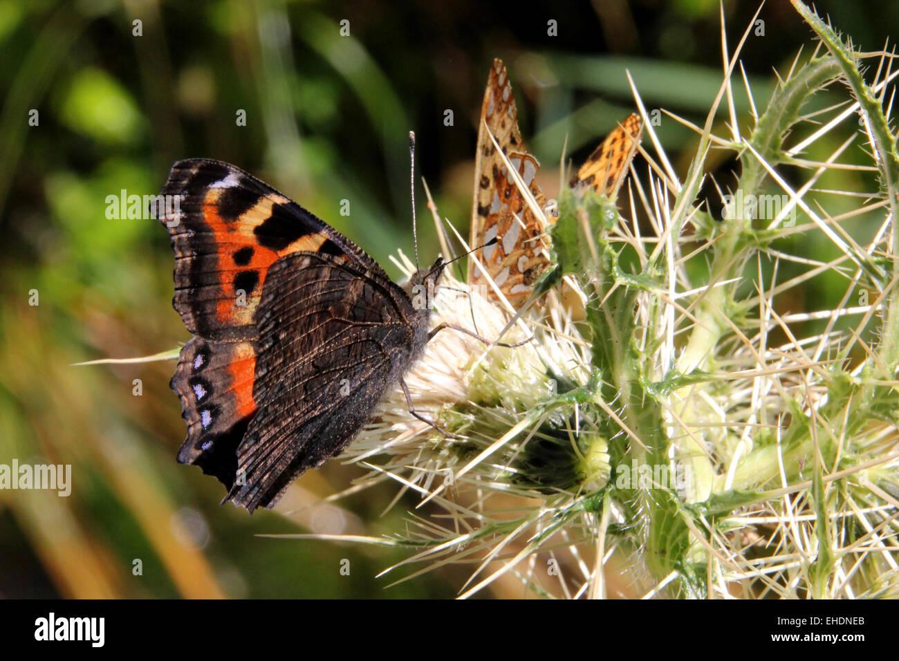 Indian Tartaruga e himalayana Fritillary Queen farfalle Immagini Stock
