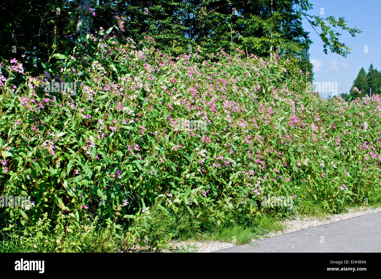 Indisches Springkraut / Himalayan Balsamo Foto Stock