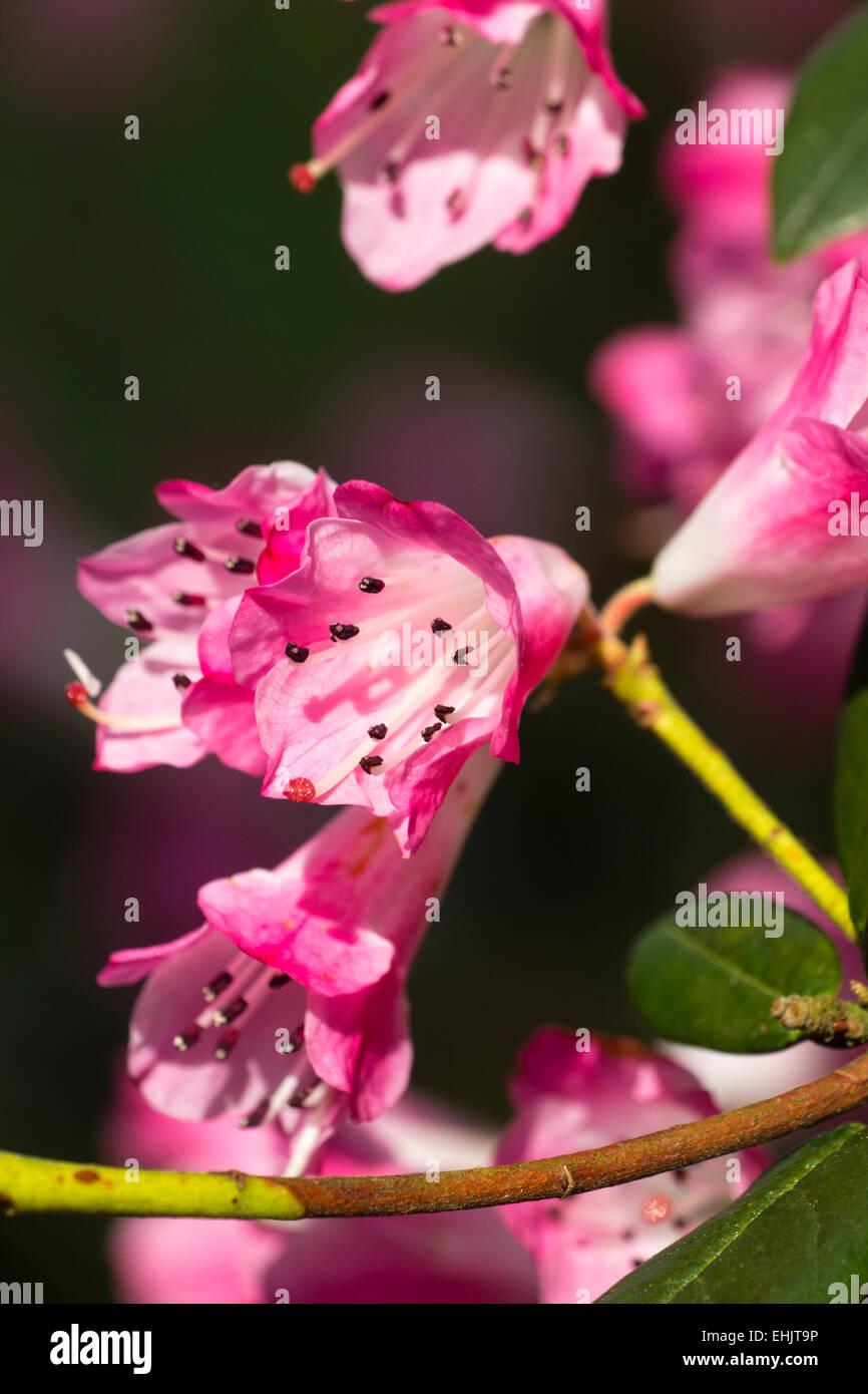 """Fiori di rododendro """"l'eta', un R.moupinense x spinuliferum popolare per la sua fioritura precoce Immagini Stock"""