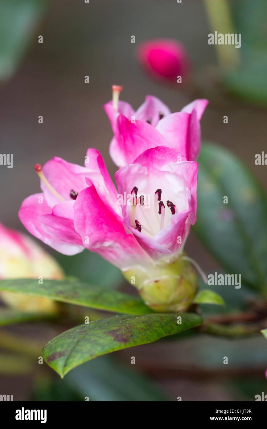 """Fiori di rododendro """"l'eta', un R.moupinense x ibrido spinuliferum popolare per la sua fioritura precoce Immagini Stock"""