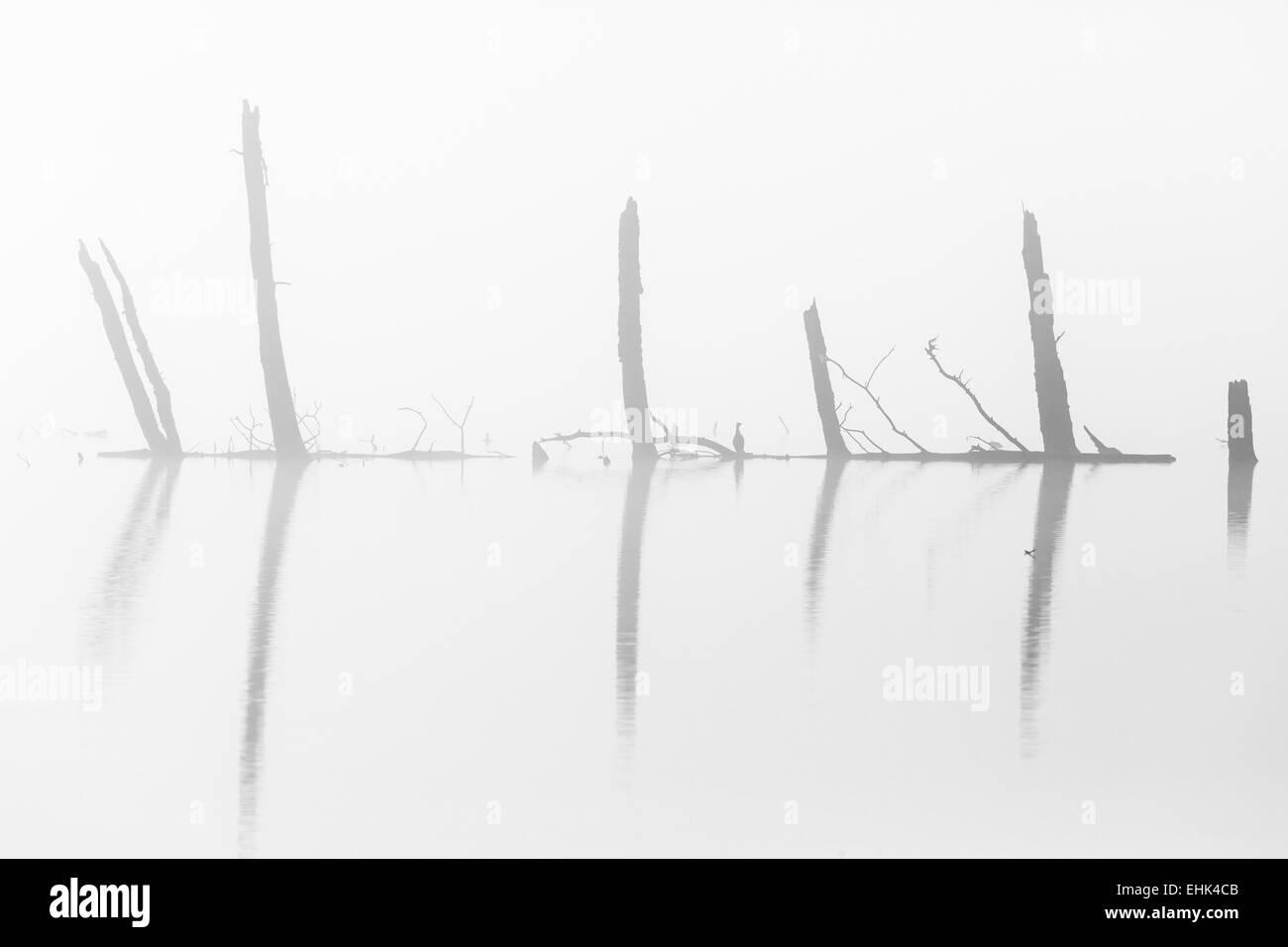 Tronchi di alberi silhouette nell'acqua nella nebbia Foto Stock