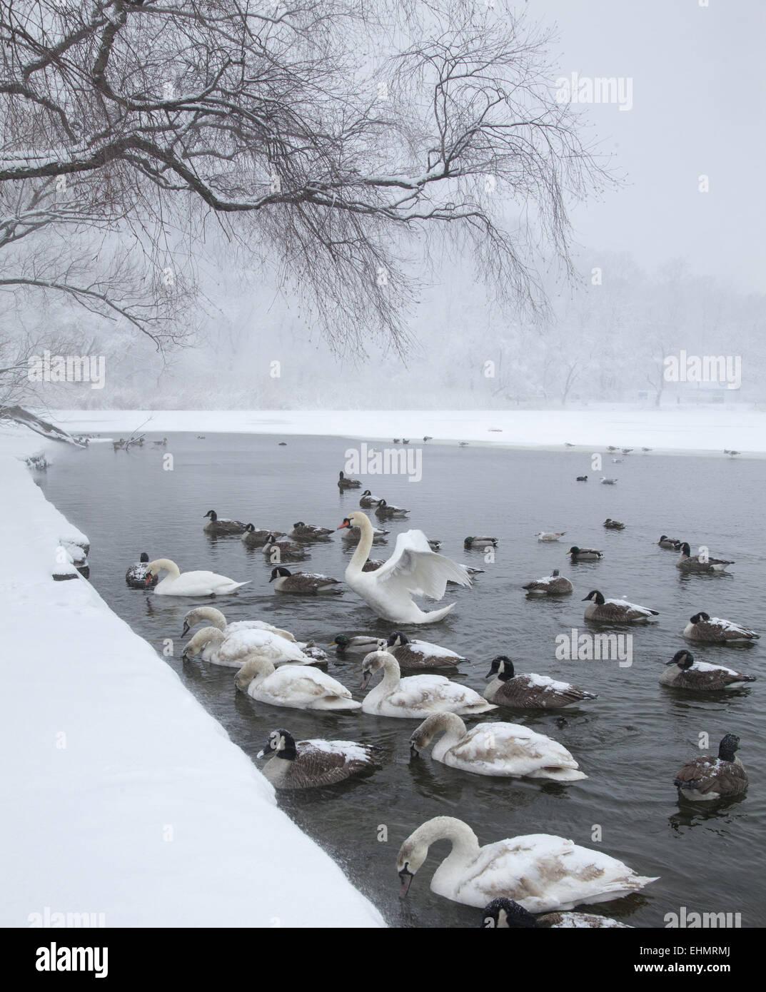 Gli uccelli acquatici raccogliere lungo il bordo del parzialmente congelati lago nel Prospect Park, sperando di Immagini Stock
