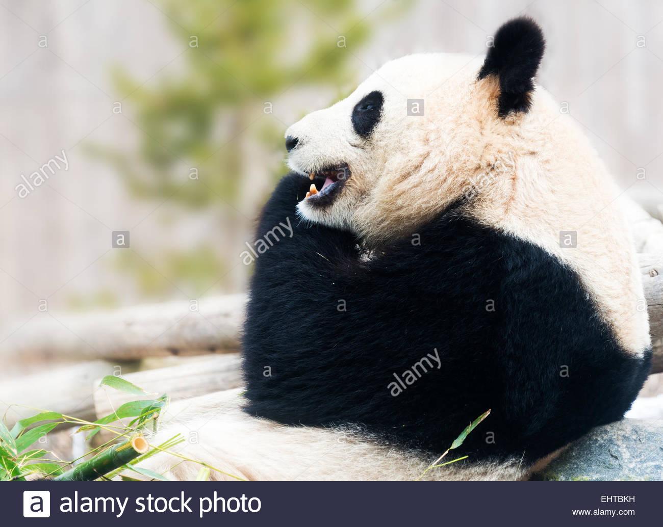 Grande Orso Panda poggiante sulla roccia e mangiare il bambù durante il giorno Immagini Stock