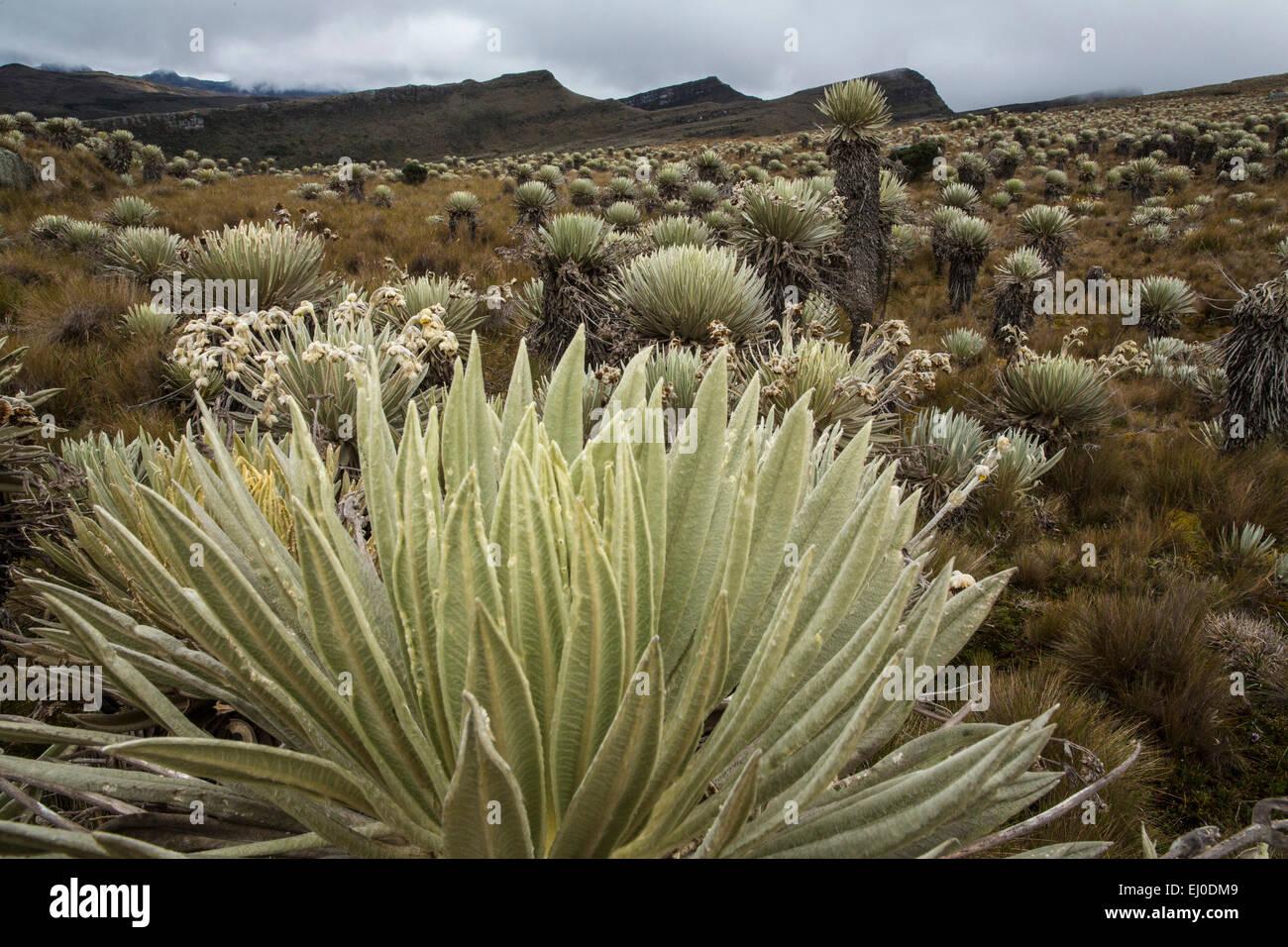 Sud America, America Latina, Colombia, natura, Sumapaz, parco nazionale, piante, vegetazione, Immagini Stock