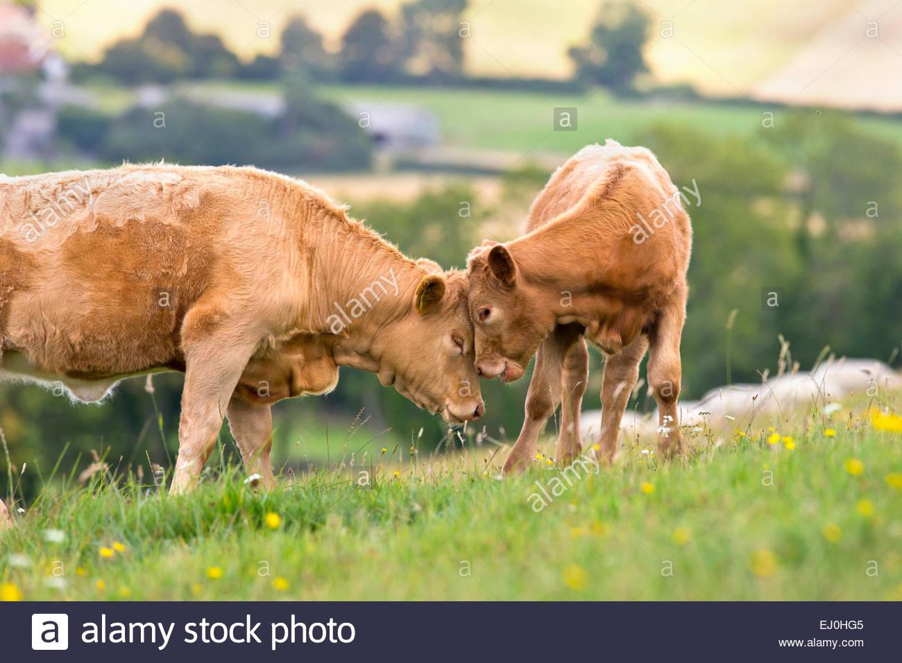 Devon mucca con vitello in campo rurale Immagini Stock