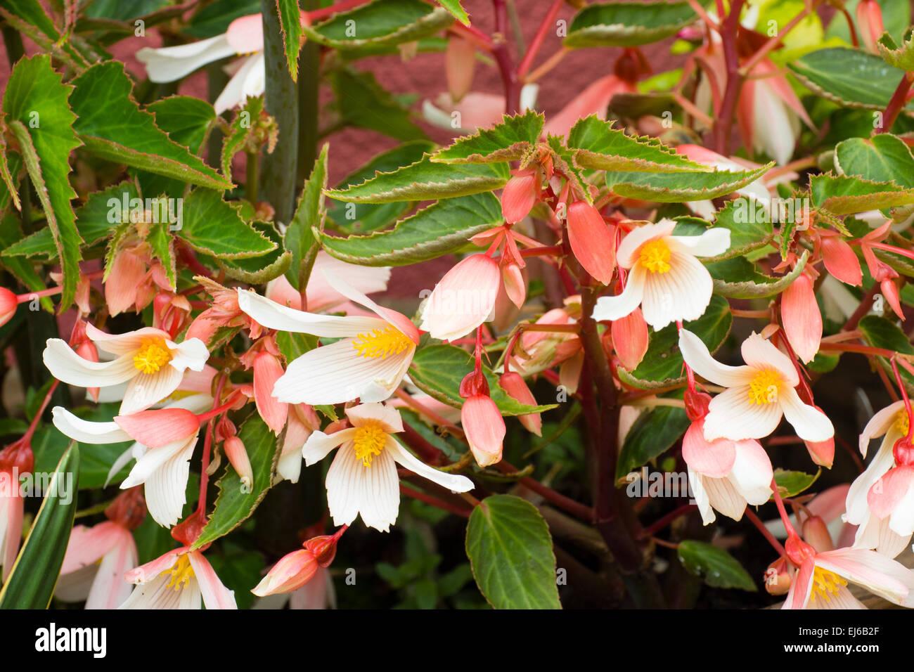 Pesca e fiori bianchi della gara, finale perenne, Begonia 'Million baci eleganza' Immagini Stock