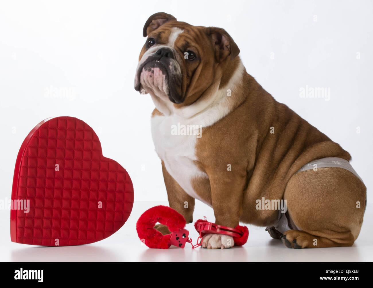 Il giorno di san valentino cane - Bulldog inglese vestito su sfondo bianco  Immagini Stock 382d55b131b8