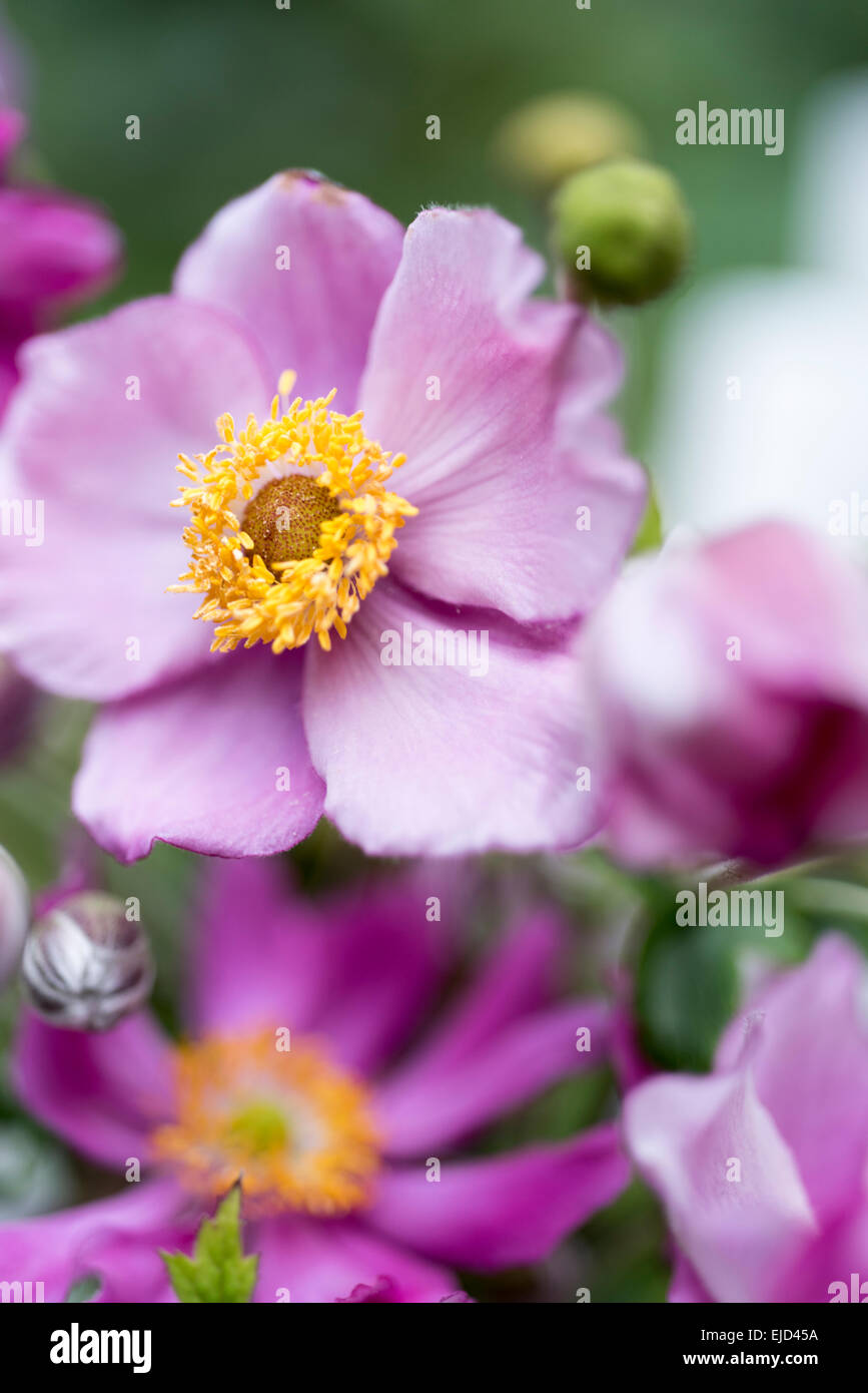Anemone immagini anemone fotos stock alamy for Anemone giapponese