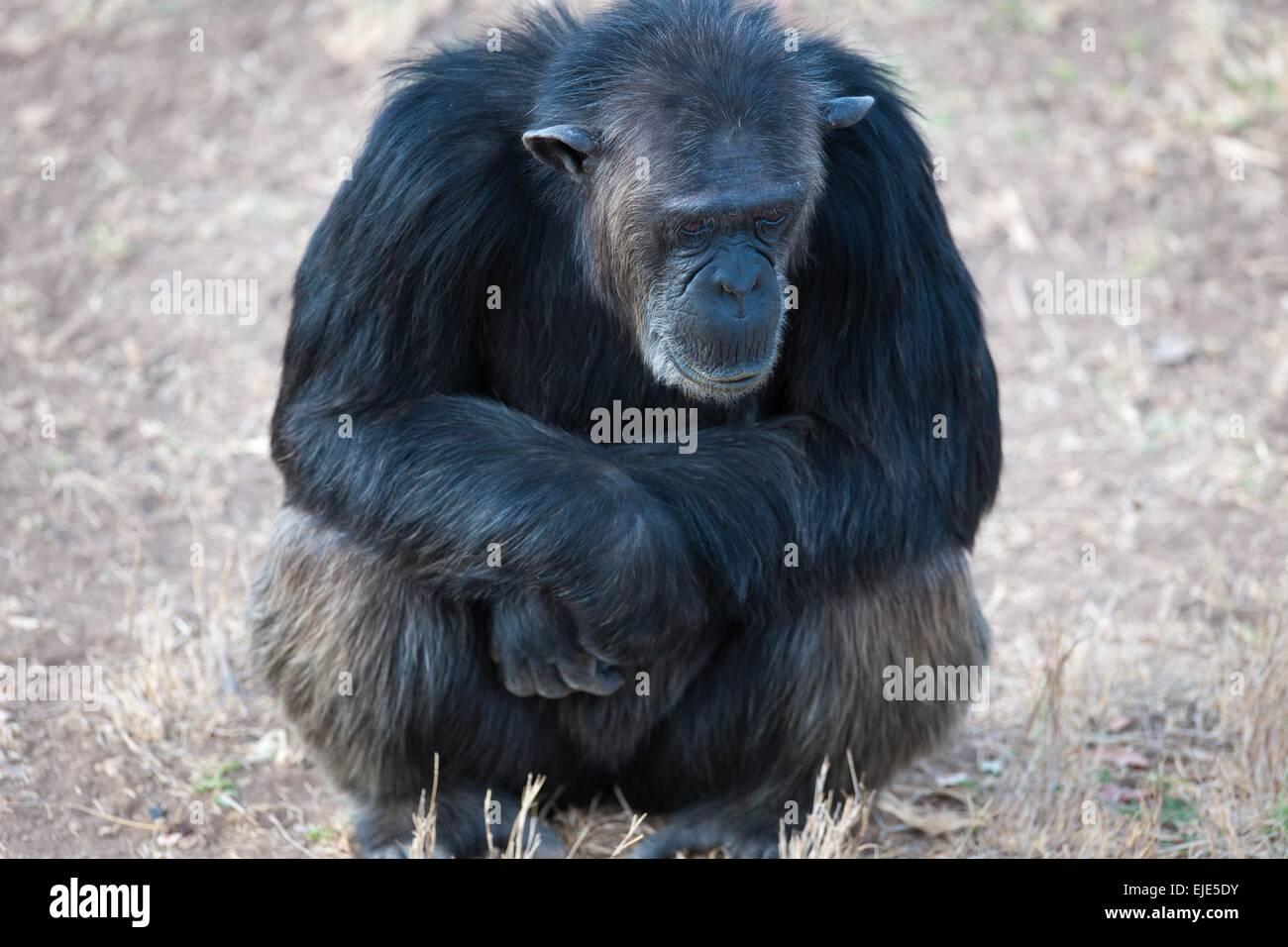 Uno scimpanzé nel parco nazionale dell'Africa Immagini Stock
