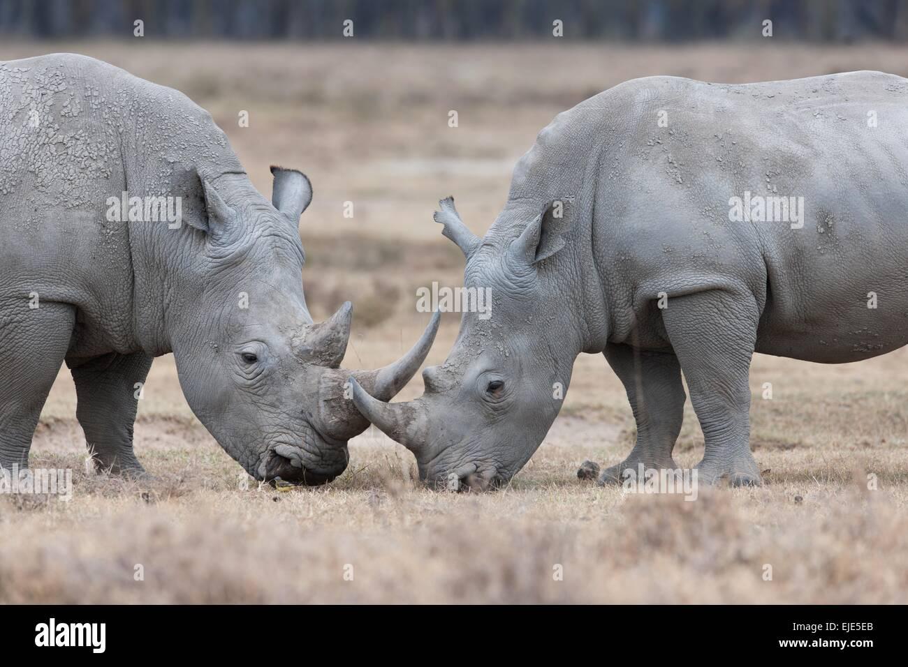Rhino nel parco nazionale di Lake Nakuru in Kenya Immagini Stock