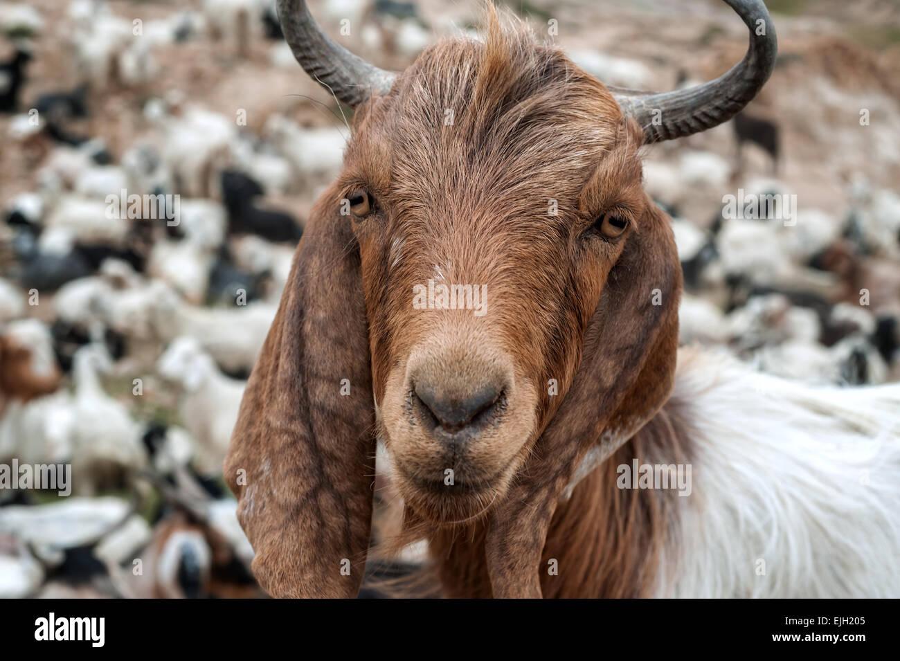Barbuto ritratto di capra close up Immagini Stock